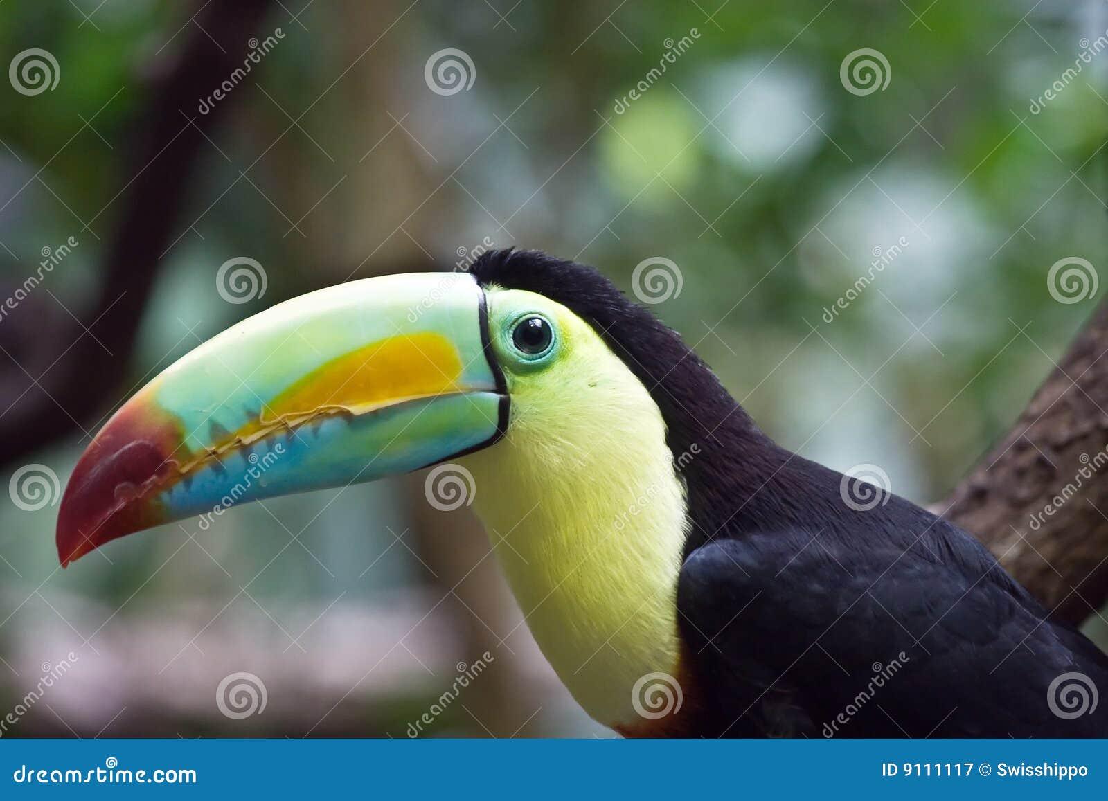 ζωηρόχρωμος tucan