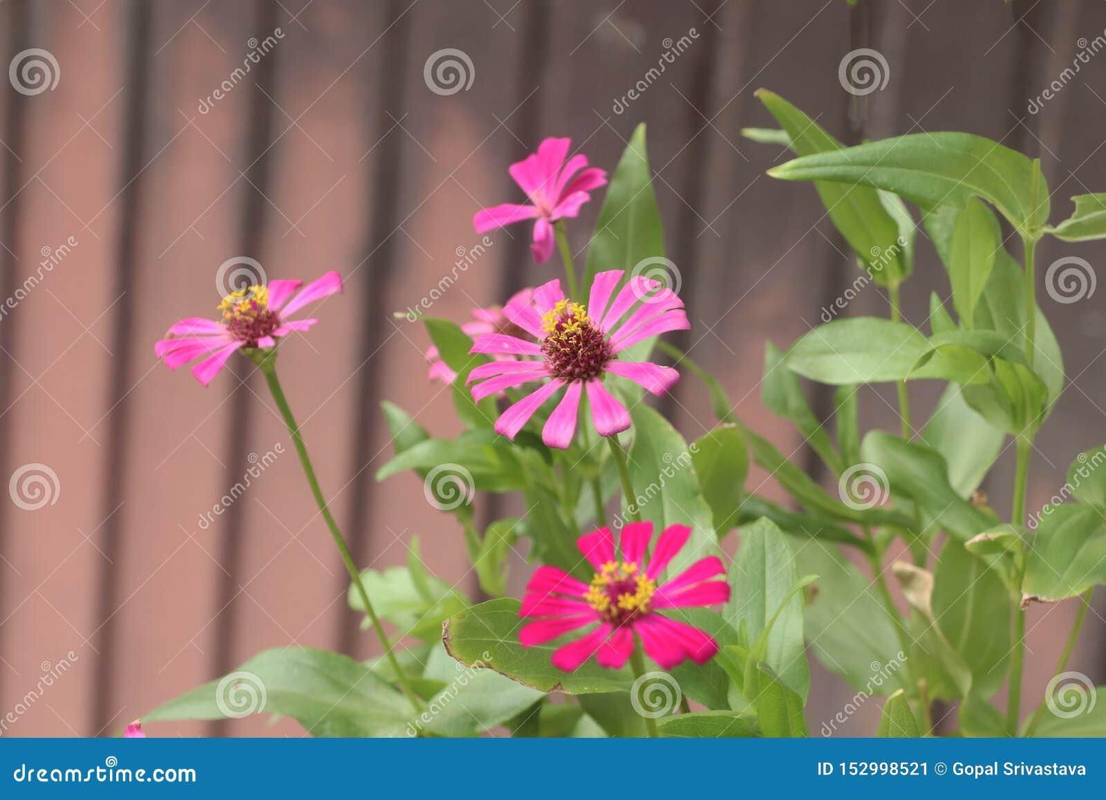 Ζωηρόχρωμο ρόδινο και κόκκινο λουλούδι