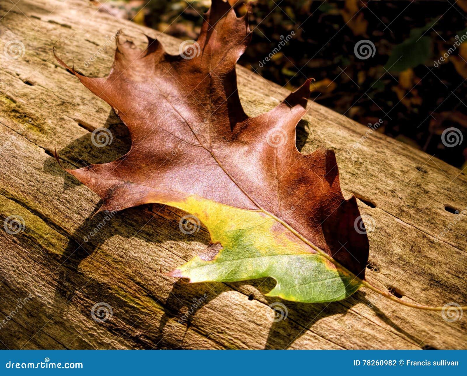 Ζωηρόχρωμο δρύινο φύλλο το φθινόπωρο