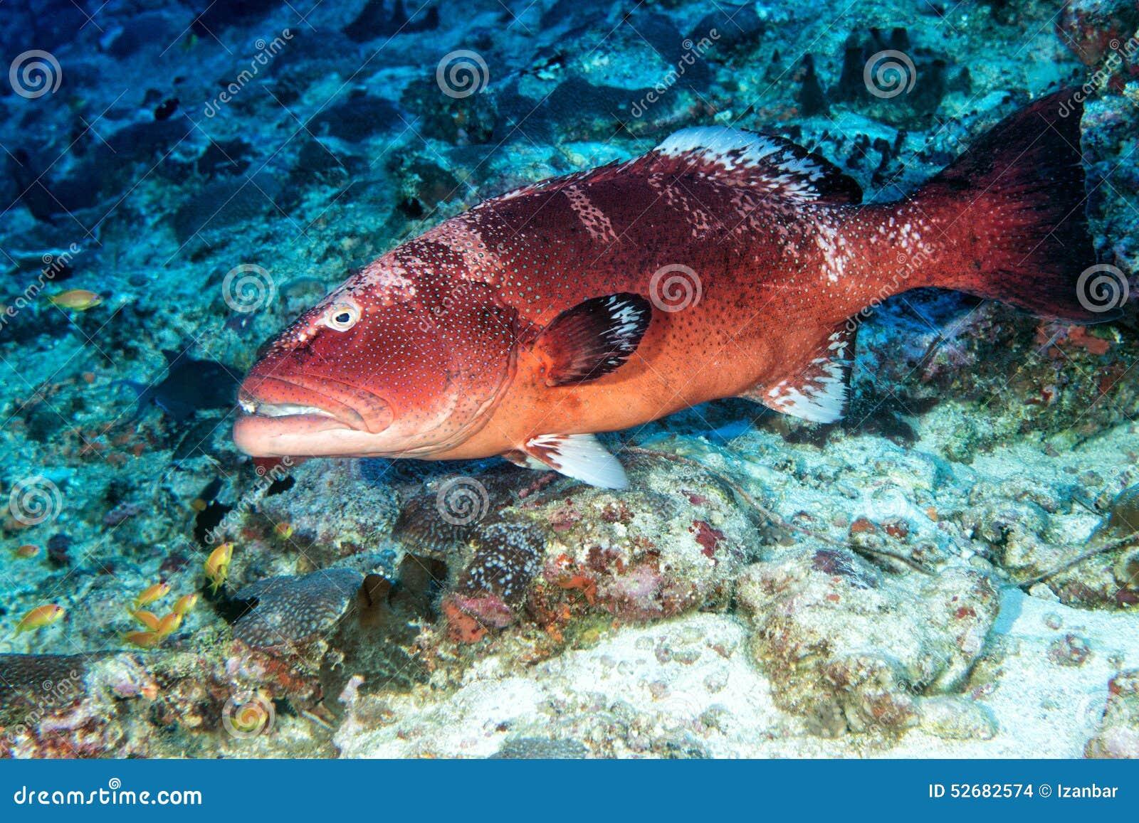 Ζωηρόχρωμο grouper στον ωκεανό