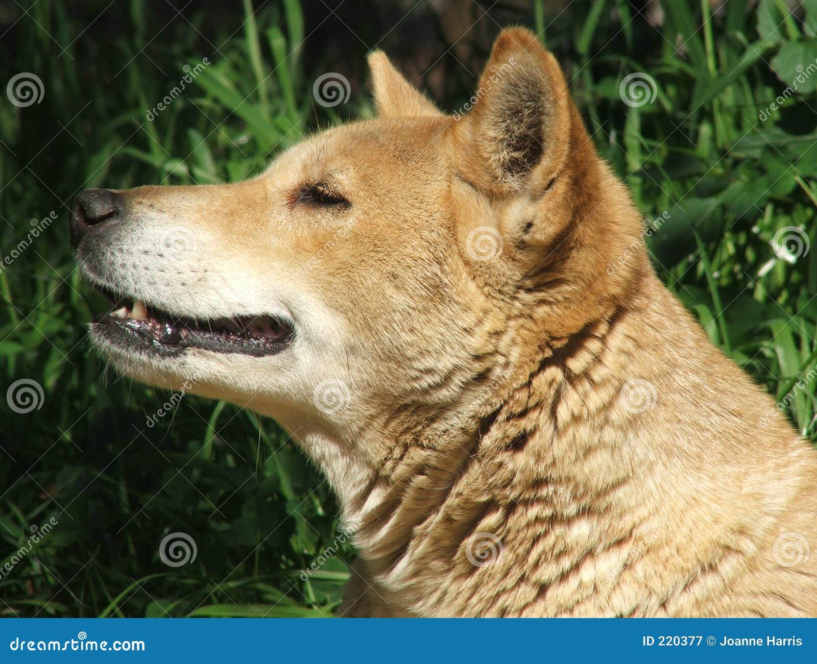 ζωικό dingo