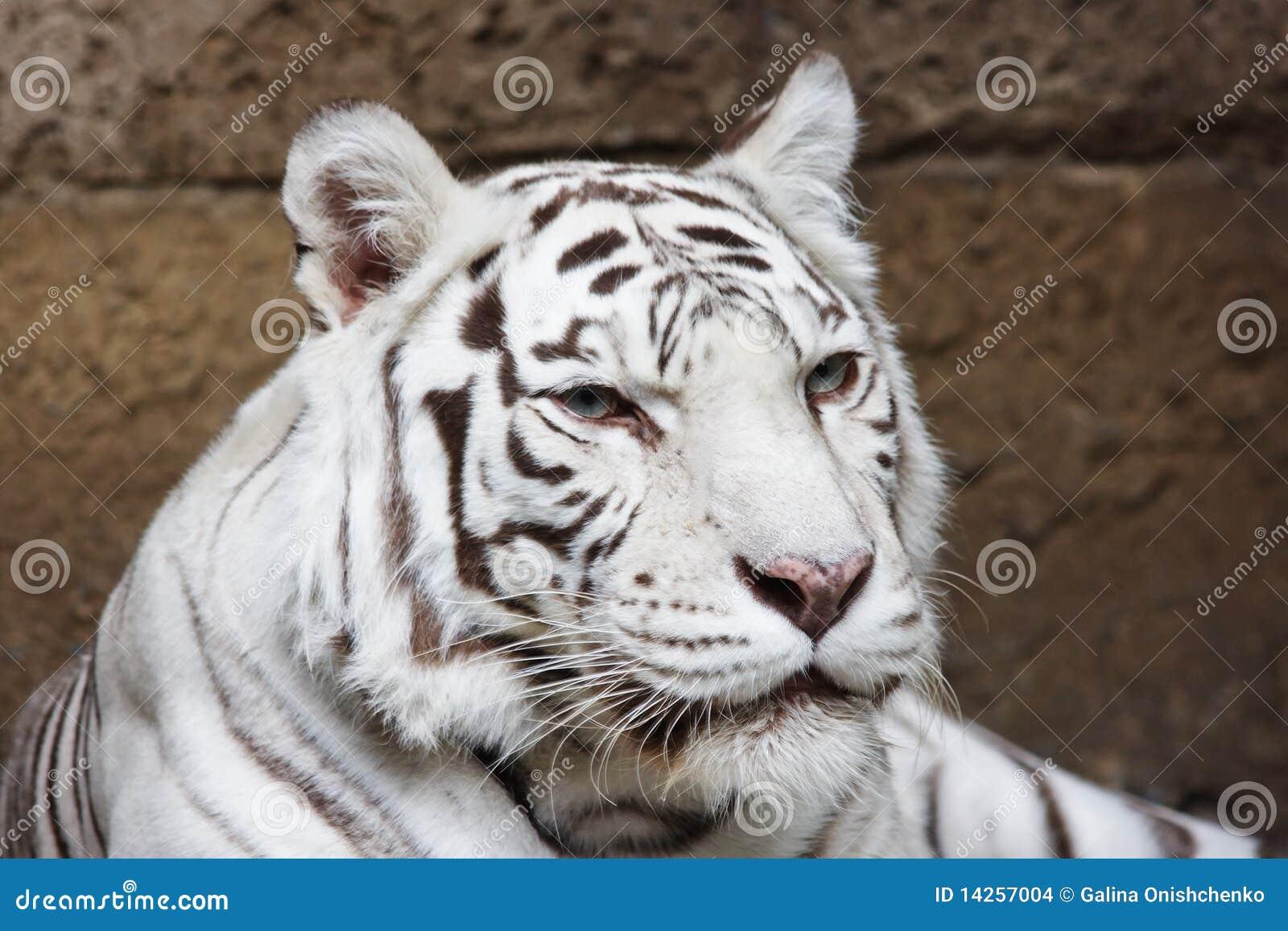 ζωολογικός κήπος τιγρών &t