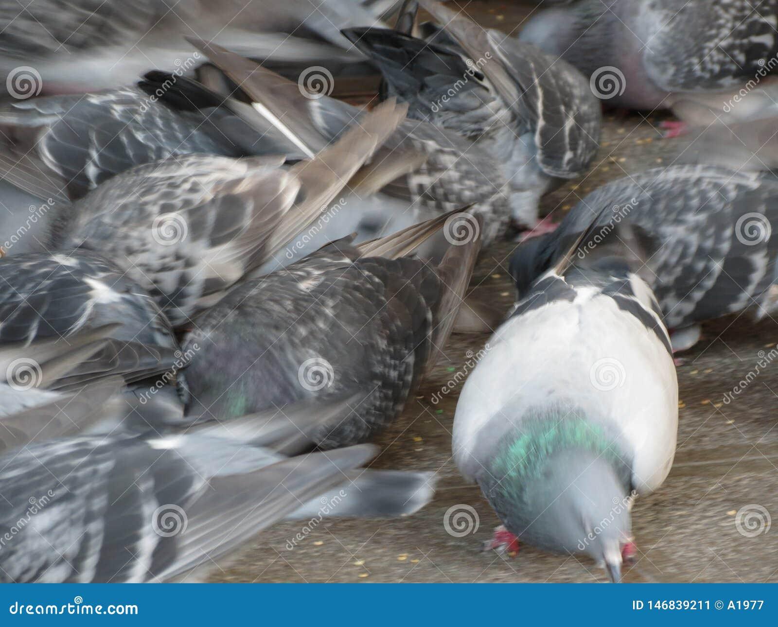 Ζώα περιστεριών των πουλιών Aves κατηγορίας