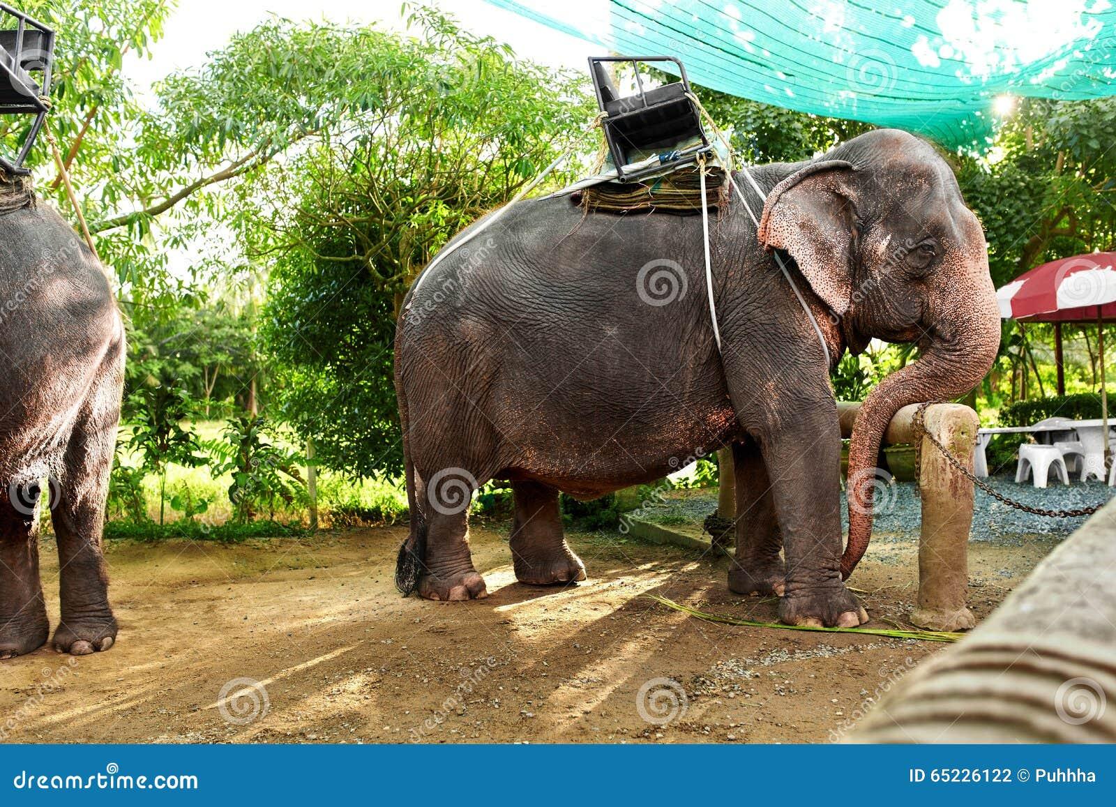 Ζώα στην Ταϊλάνδη Ταϊλανδικοί ελέφαντες με τις σέλες γύρου Ταξίδι, Τ