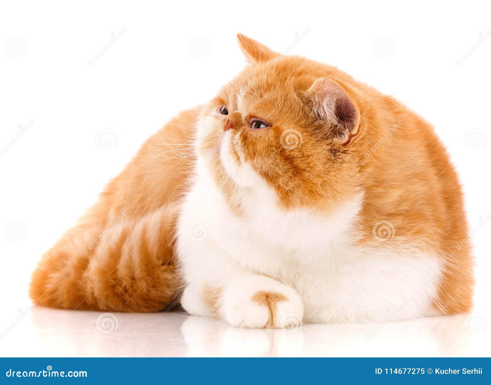 Ζώο, γάτα, έννοια κατοικίδιων ζώων - εξωτική γάτα σε ένα άσπρο υπόβαθρο