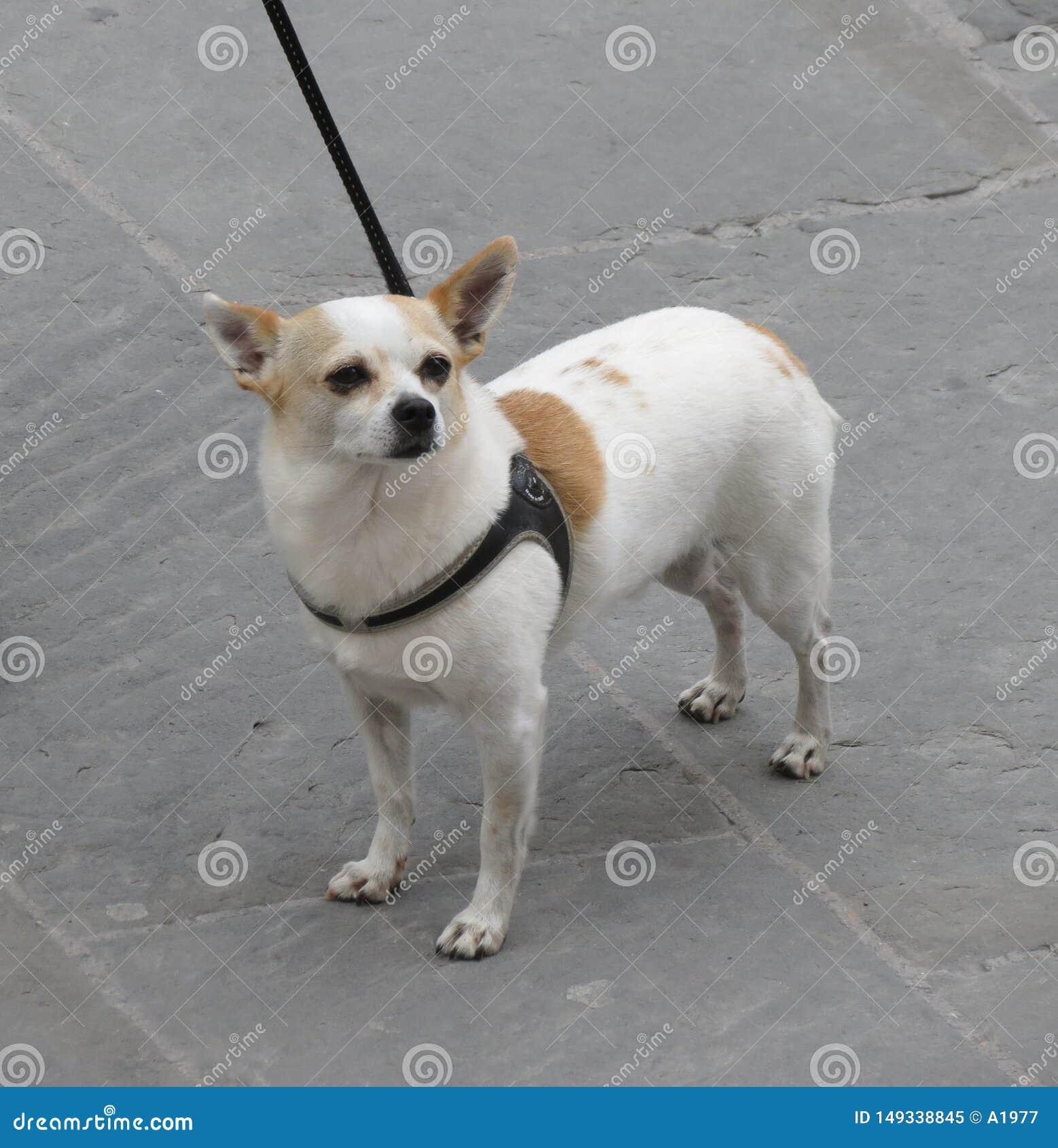 Ζώο σκυλιών των θηλαστικών Mammalia κατηγορίας