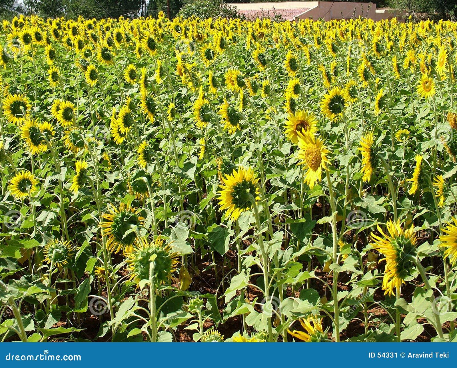 Download ηλίανθοι στοκ εικόνα. εικόνα από πέταλα, συγκομιδή, ήλιος - 54331