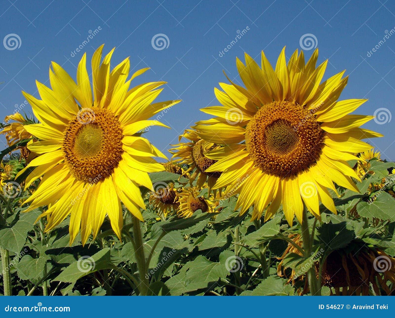 Download ηλίανθοι στοκ εικόνα. εικόνα από πετρέλαιο, γεωργίας, φύση - 54627