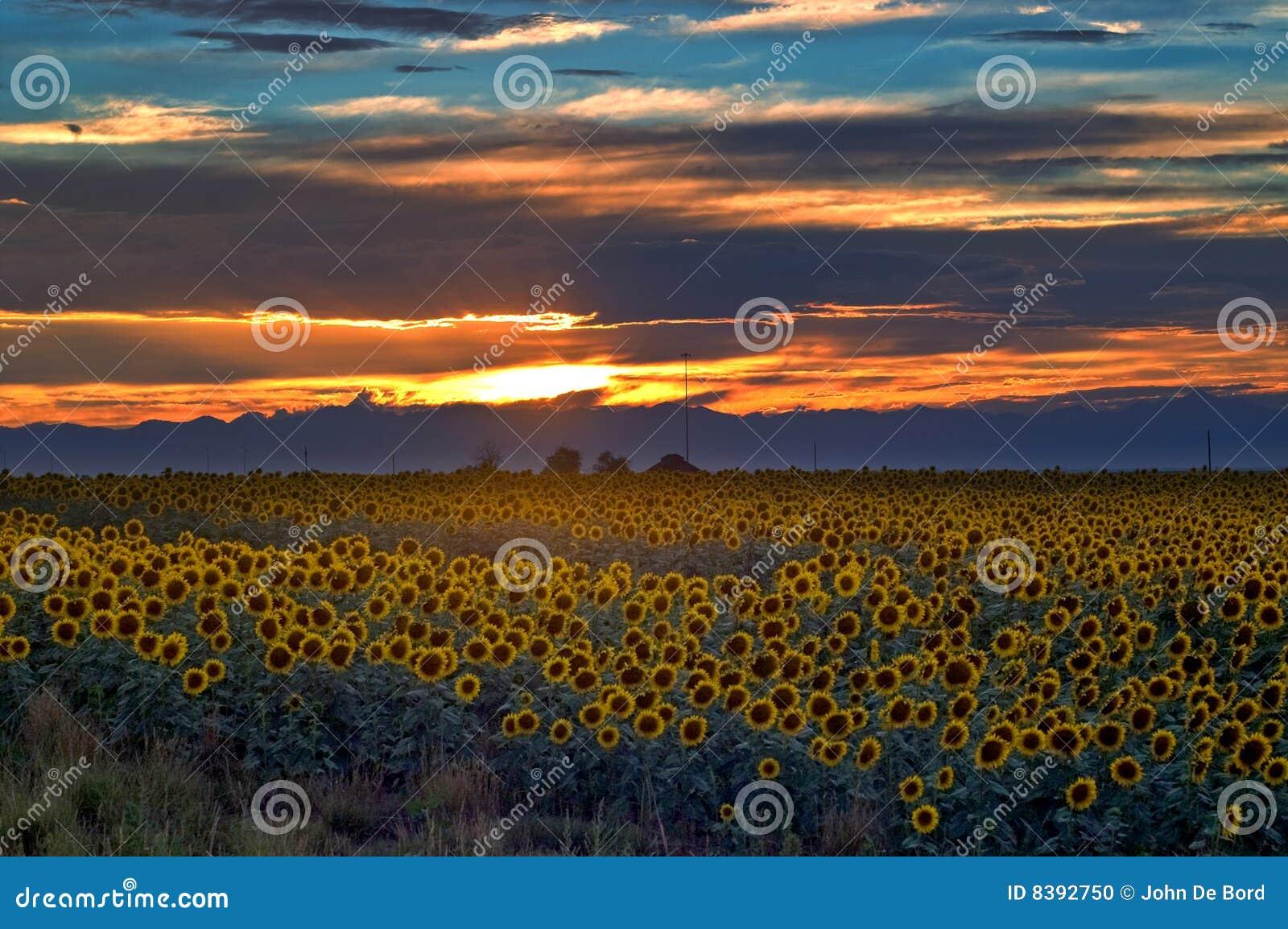ηλιοβασίλεμα ηλίανθων πεδίων του Κολοράντο