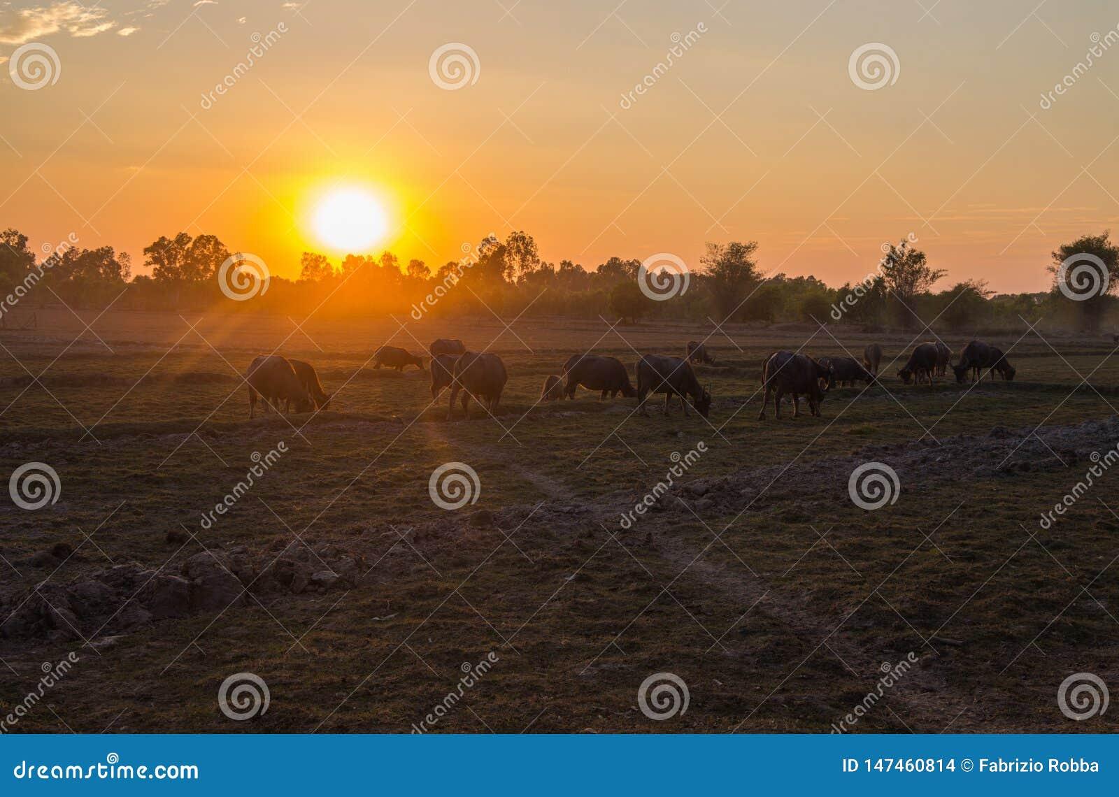 Ηλιοβασίλεμα σε έναν τομέα χωρών με τους βούβαλους που βόσκουν, βορειοανατολική Ταϊλάνδη, Ασία