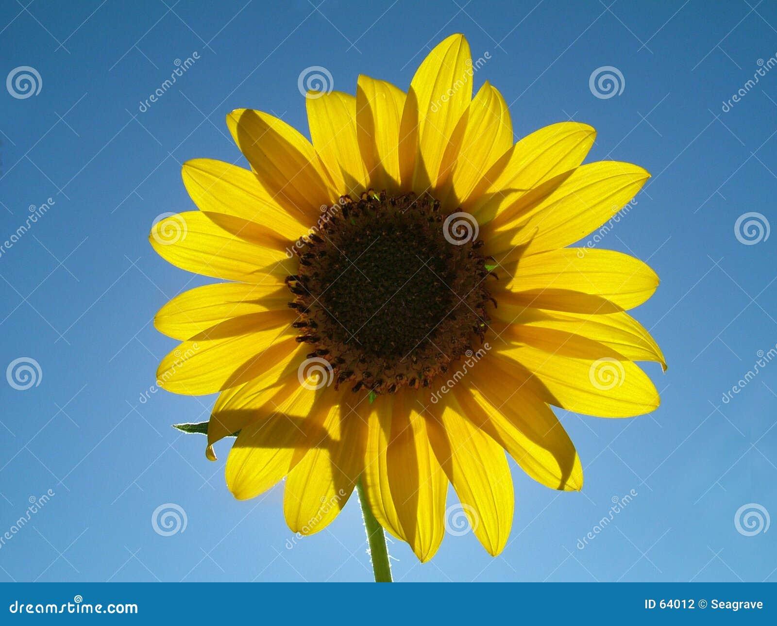 Download ημέρες ευτυχείς στοκ εικόνες. εικόνα από ουρανός, ηλίανθος - 64012