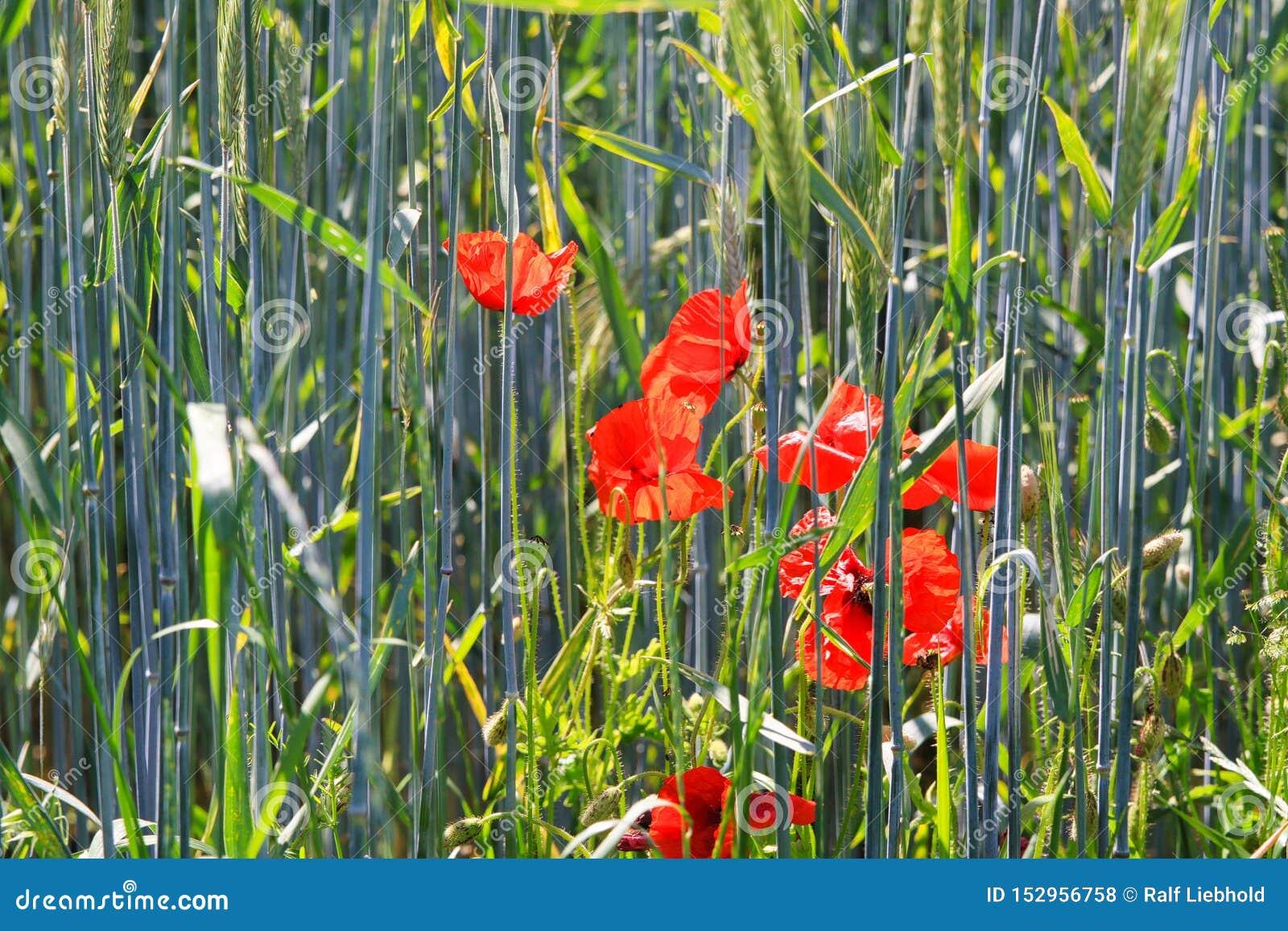 Η άνθιση κόκκινων των παπαρουνών ανθίζει Papaver τα rhoeas στον τομέα σίτου στο φωτεινό θερινό φως του ήλιου - Γερμανία