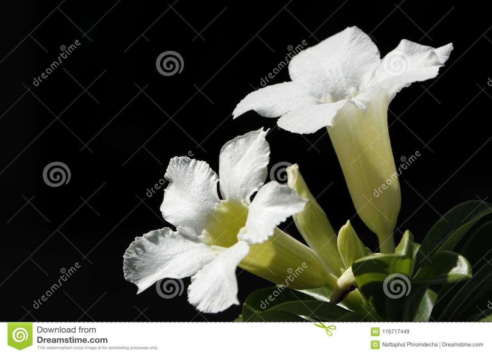 Η άσπρη έρημος αυξήθηκε λουλούδι ή obesum Adenium, κρίνος Impala, πλαστή αζαλέα που απομονώθηκε