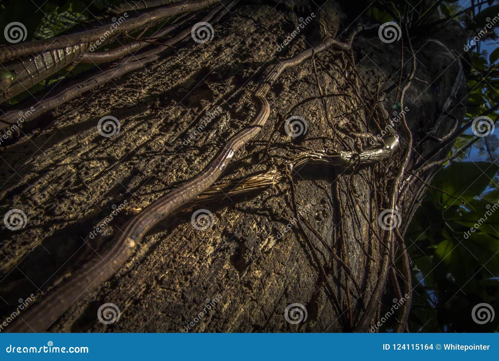 Η άσπρη εισβολή μυρμηγκιών βλάπτει έναν κορμό δέντρων