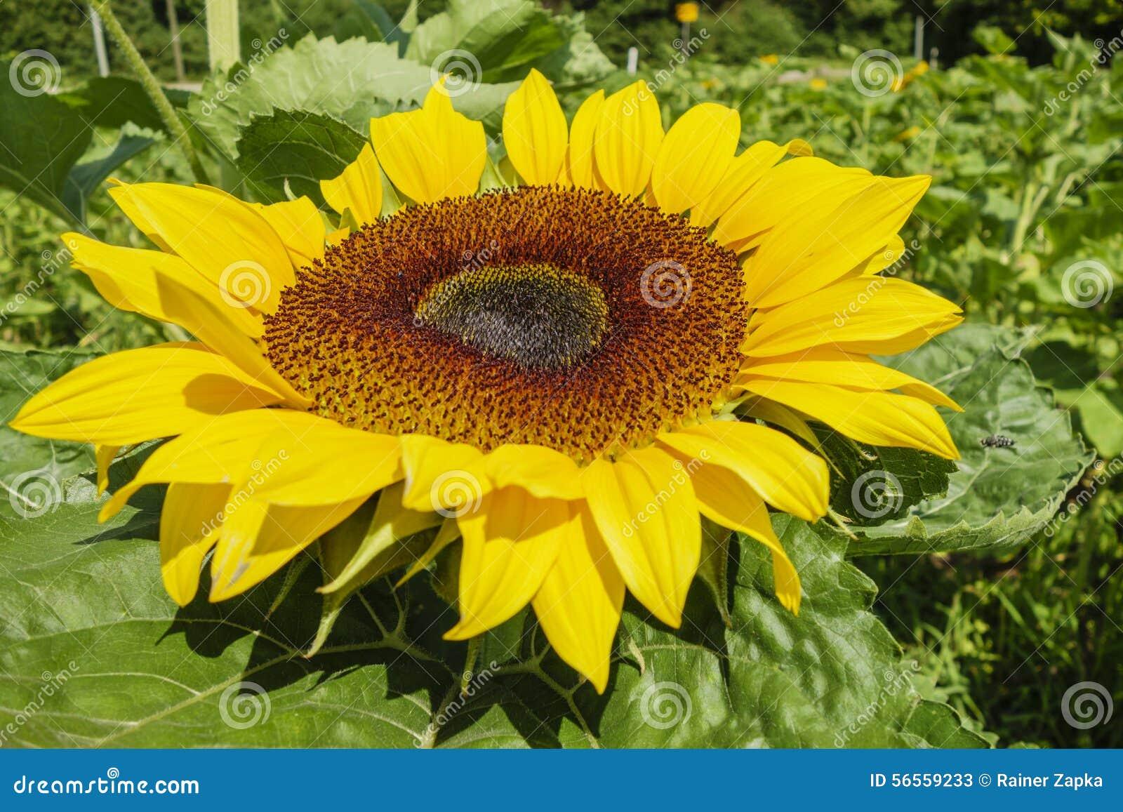 Download Ηλίανθος στοκ εικόνα. εικόνα από φύση, μακροεντολή, πράσινος - 56559233