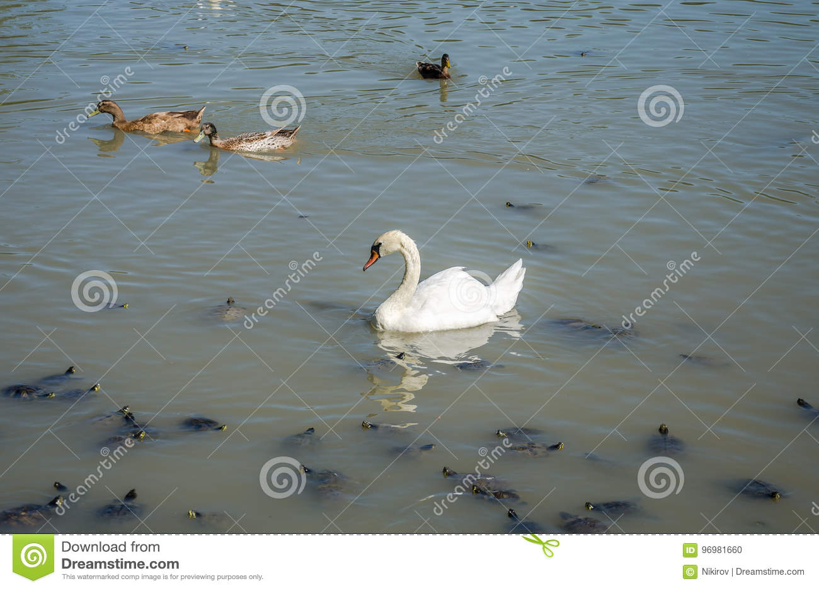 Η λίμνη στην οποία ο κύκνος, οι χελώνες και οι πάπιες κολυμπούν σε μια φωτεινή ηλιόλουστη ημέρα στη βίλα Pamphili στη Ρώμη, Ιταλί
