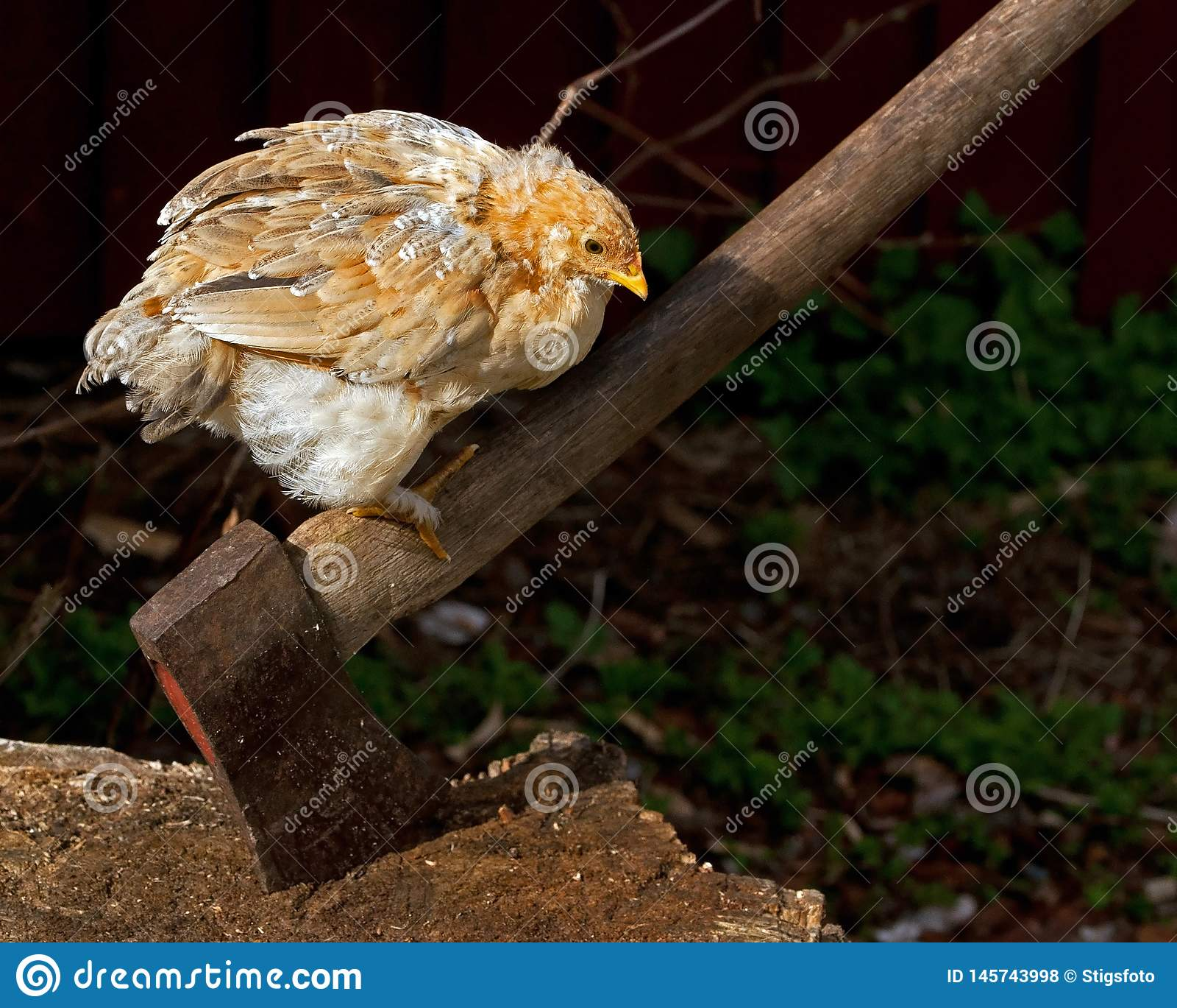 Η αναμονή ενός αυξανόμενου κοτόπουλου για να πάρει το σωστό φύλο