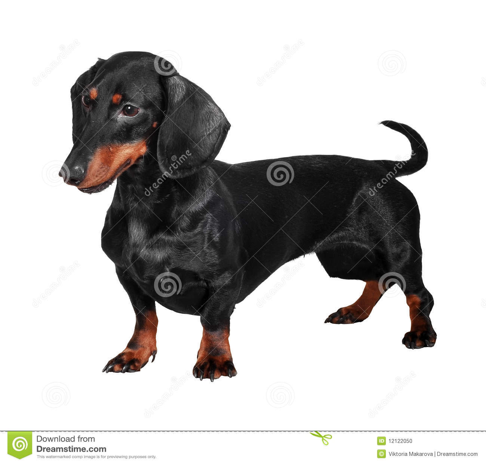 η ανασκόπηση dachshund απομόνωσε τ&