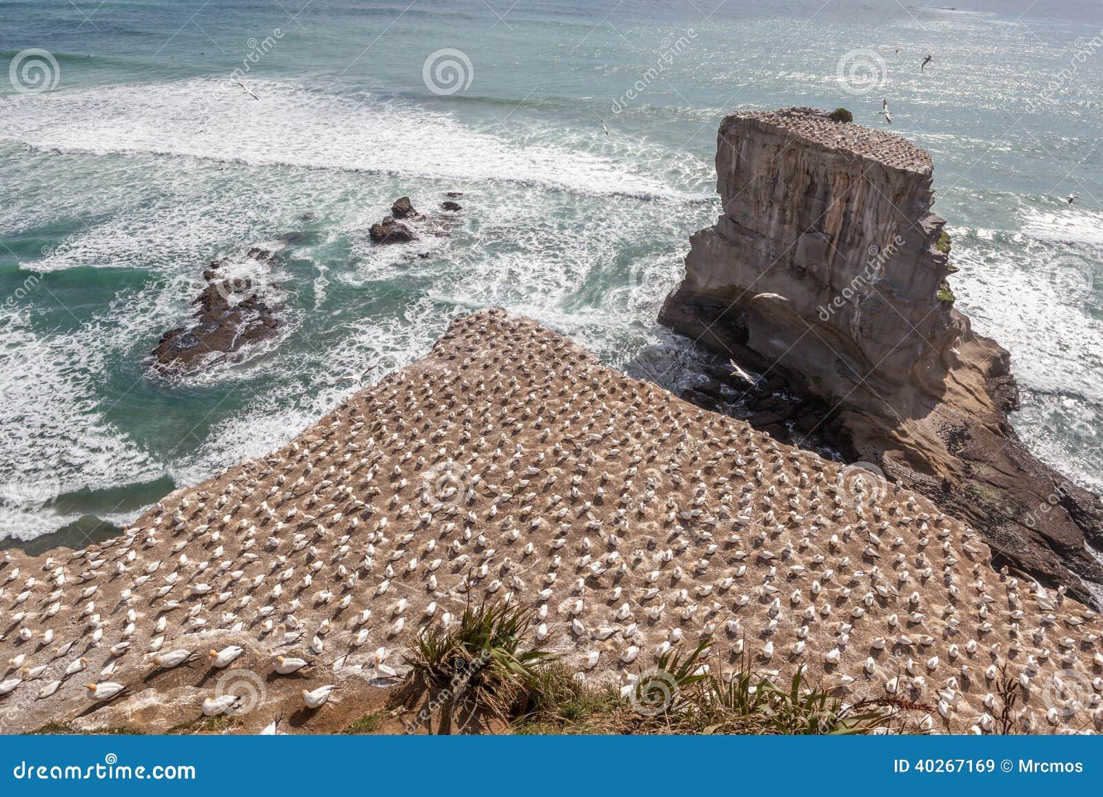 Η αποικία Australasian Gannet στη Νέα Ζηλανδία