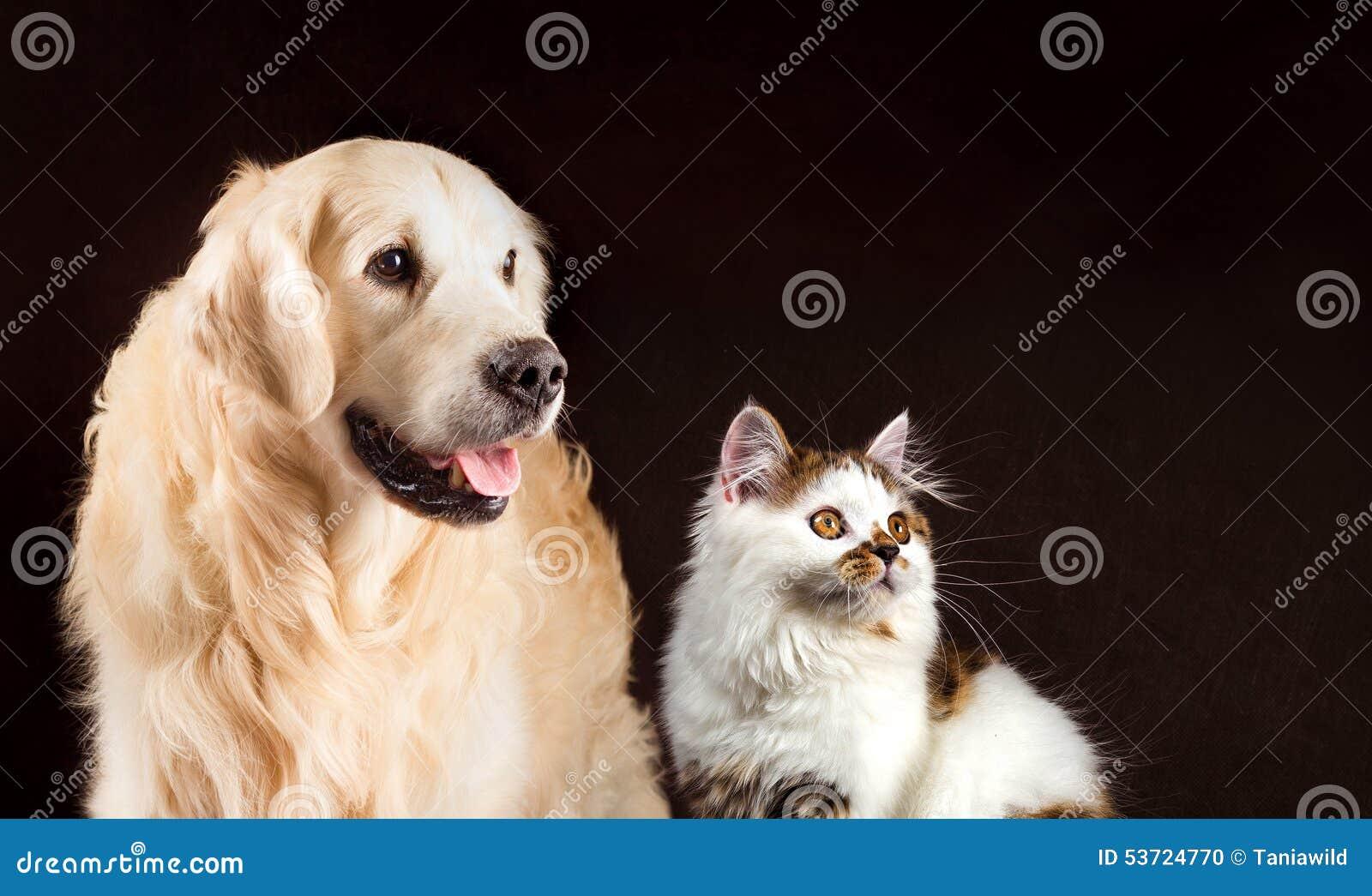 Η γάτα και το σκυλί, σκωτσέζικο άσπρο ευθύ γατάκι ταρταρουγών, χρυσό retriever εξετάζουν το δικαίωμα