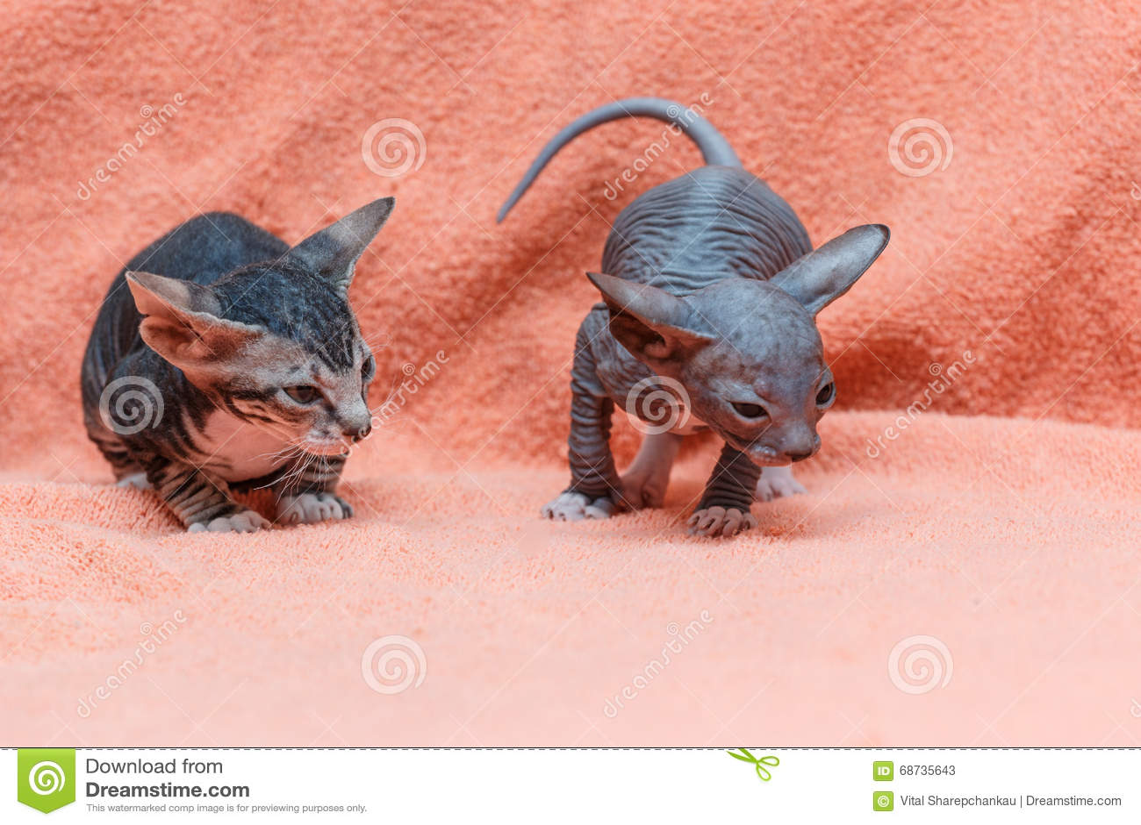 Η γάτα Donskoy Sphynx