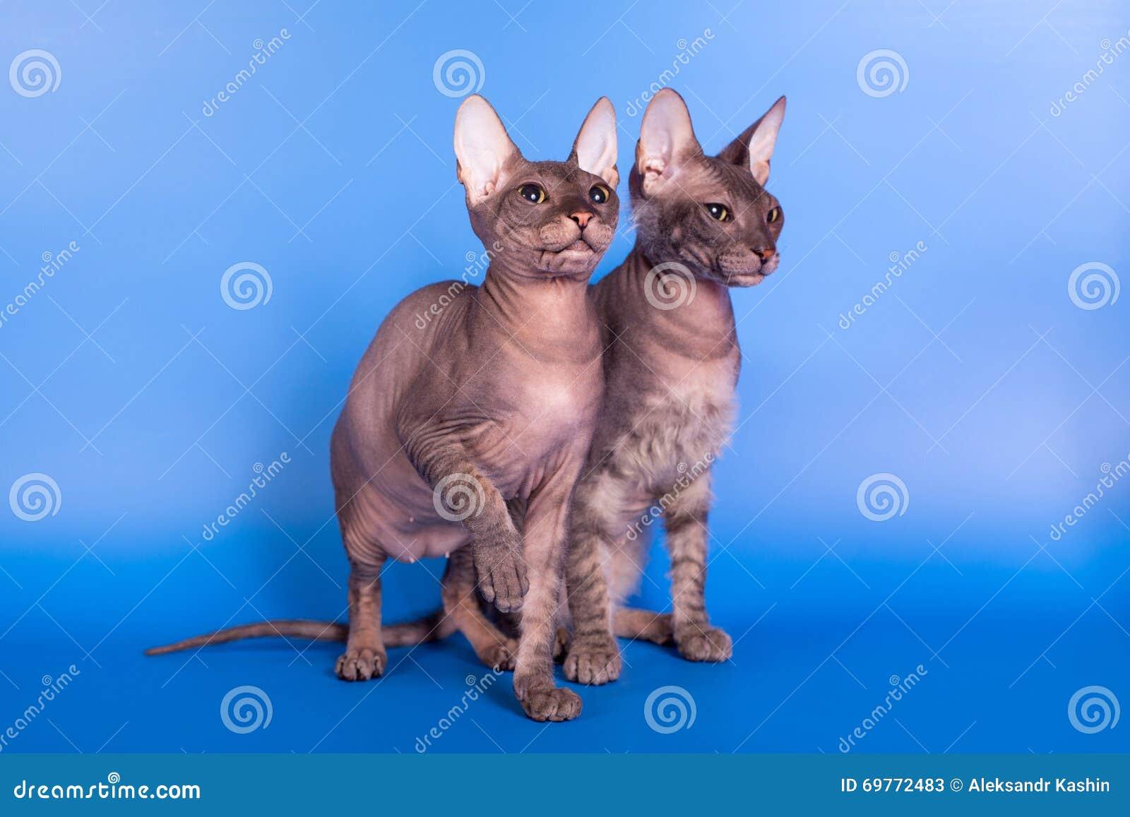 Η γάτα Sphynx σε ένα μπλε υπόβαθρο