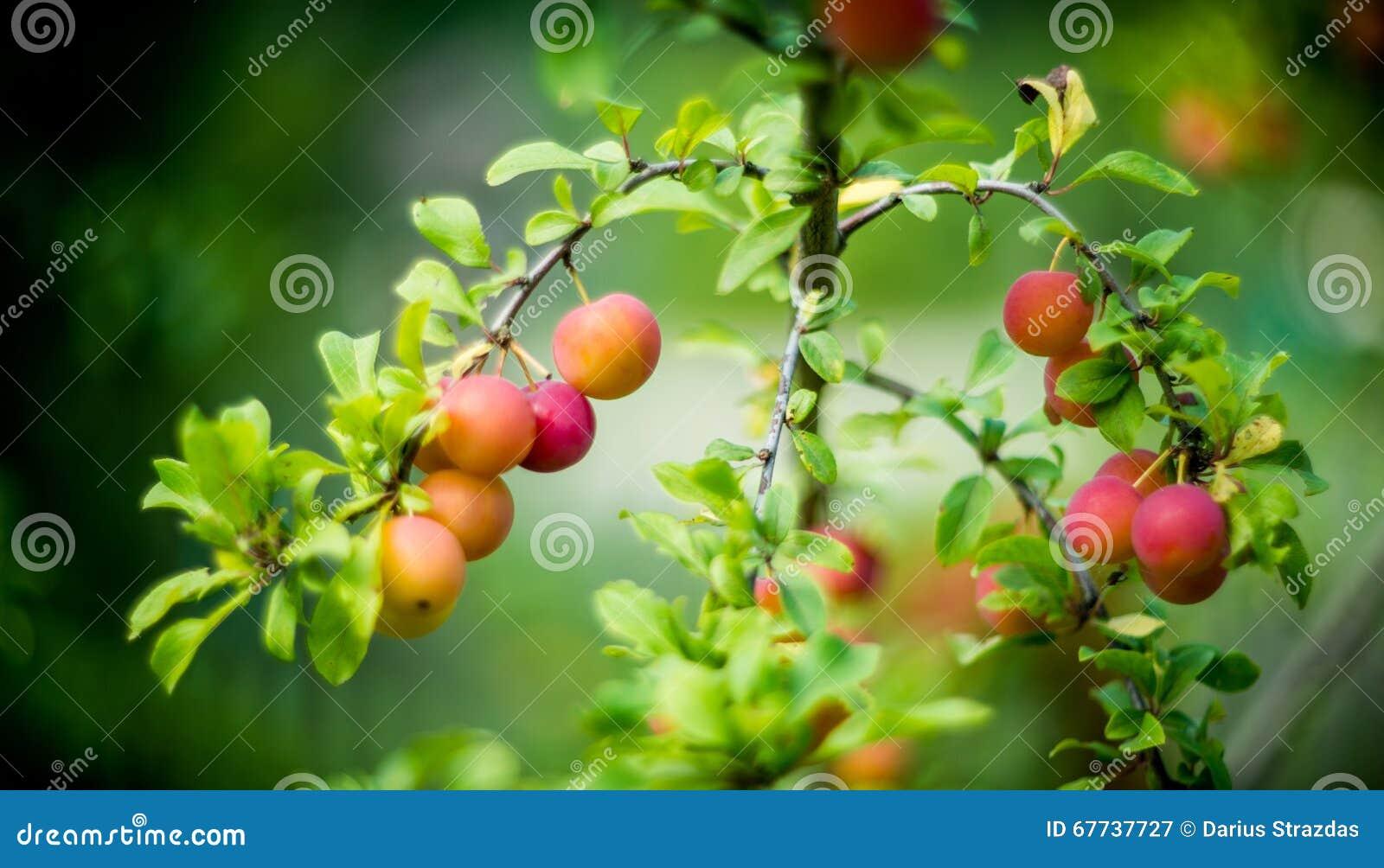 η γεωργία διακλαδίζεται νόστιμο δέντρο δαμάσκηνων καρπού έννοιας