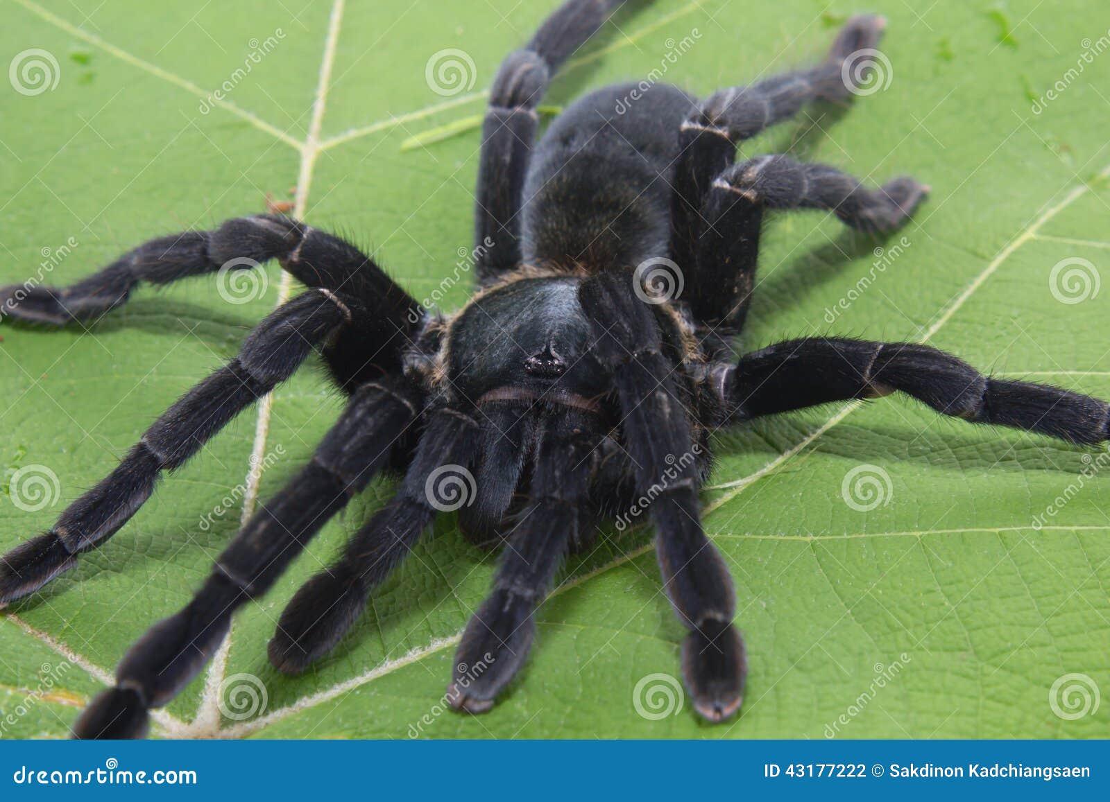Η γιγαντιαία μαύρη αράχνη απομονώνει σε πράσινο