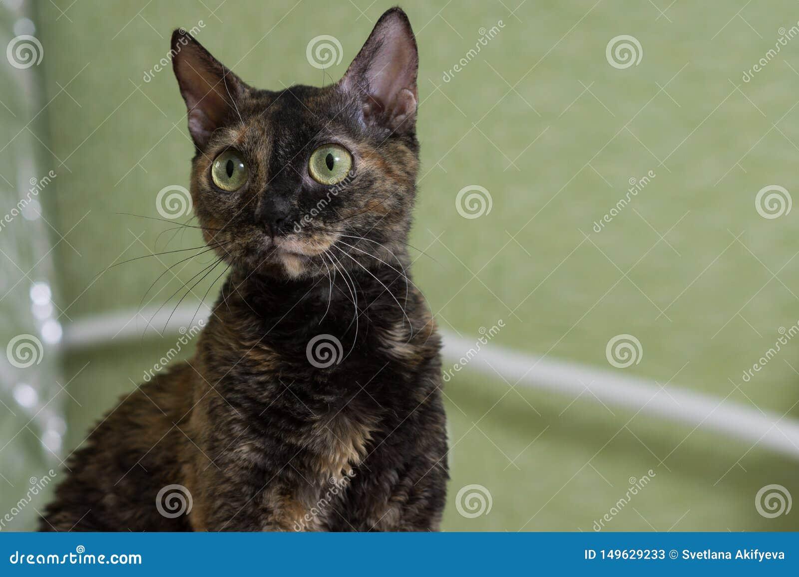 Η γοητευτική σγουρή γάτα Ural Rex κάθεται στο κρεβάτι και κοιτάζει με τα μεγάλα πράσινα μάτια Ο Μαύρος χρώματος