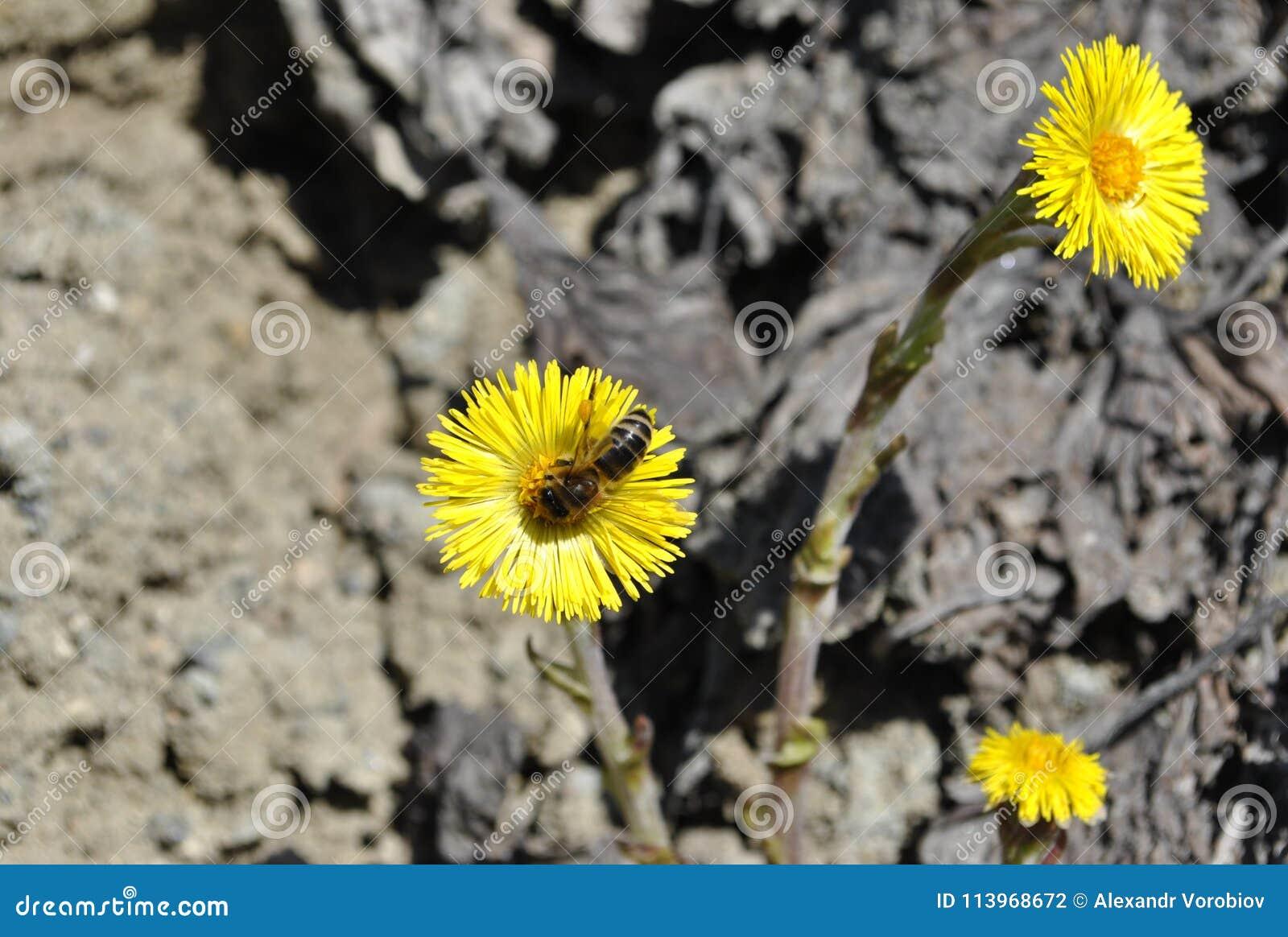 η γονιμοποίηση από το λουλούδι μελισσών Tussilà ¡ πηγαίνει rfara fà ¡ στο γκρίζο έδαφος