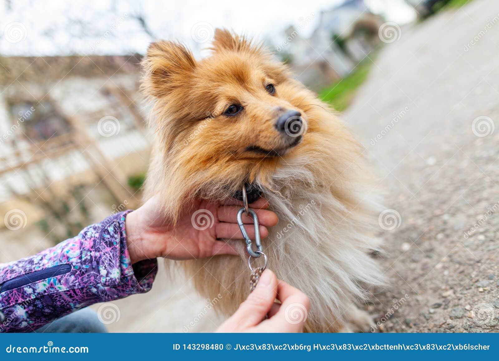 Η γυναίκα δένει το γλυκό τσοπανόσκυλο Shetland της
