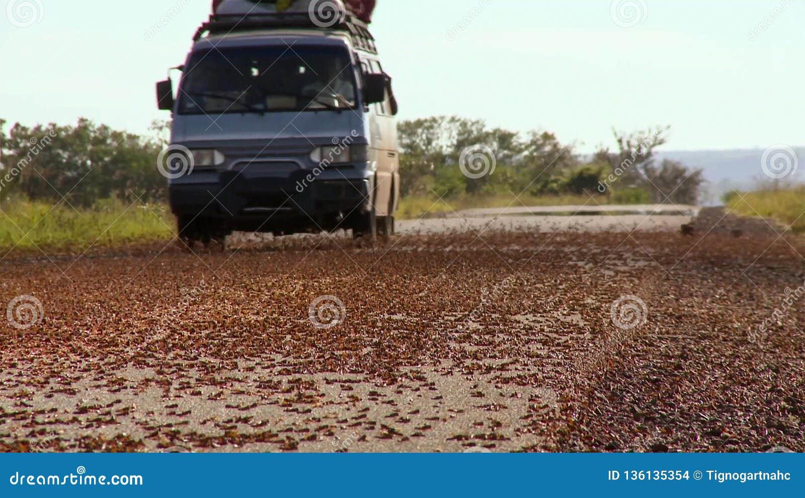 Η εισβολή των ακρίδων στη Μαδαγασκάρη Τα εκατομμύρια grasshoppers κατά τη διάρκεια της μετανάστευσης συντρίφθηκαν στο δρόμο