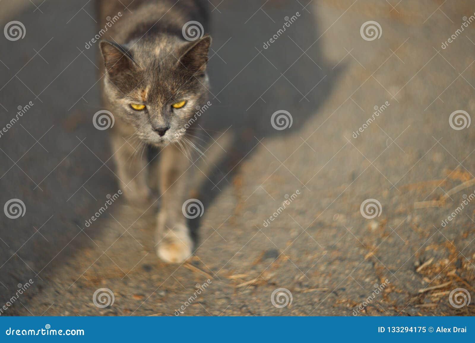 Η ευμετάβλητη άστεγη γκρίζα γάτα εξετάζει σας σε μια μεγάλη πόλη Περίπατοι γατών στην άσφαλτο Η γάτα είναι άστεγη