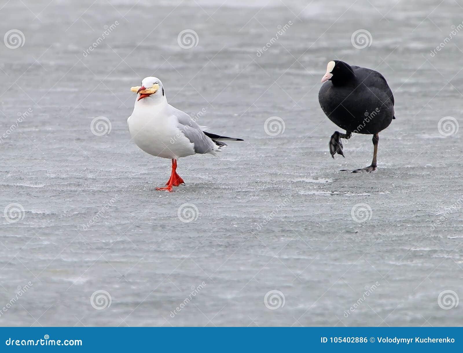 Download Η ευρασιατική φαλαρίδα χαράζει στον πάγο Seagull με το ψωμί Στοκ Εικόνες - εικόνα από άγριος, κυνήγι: 105402886