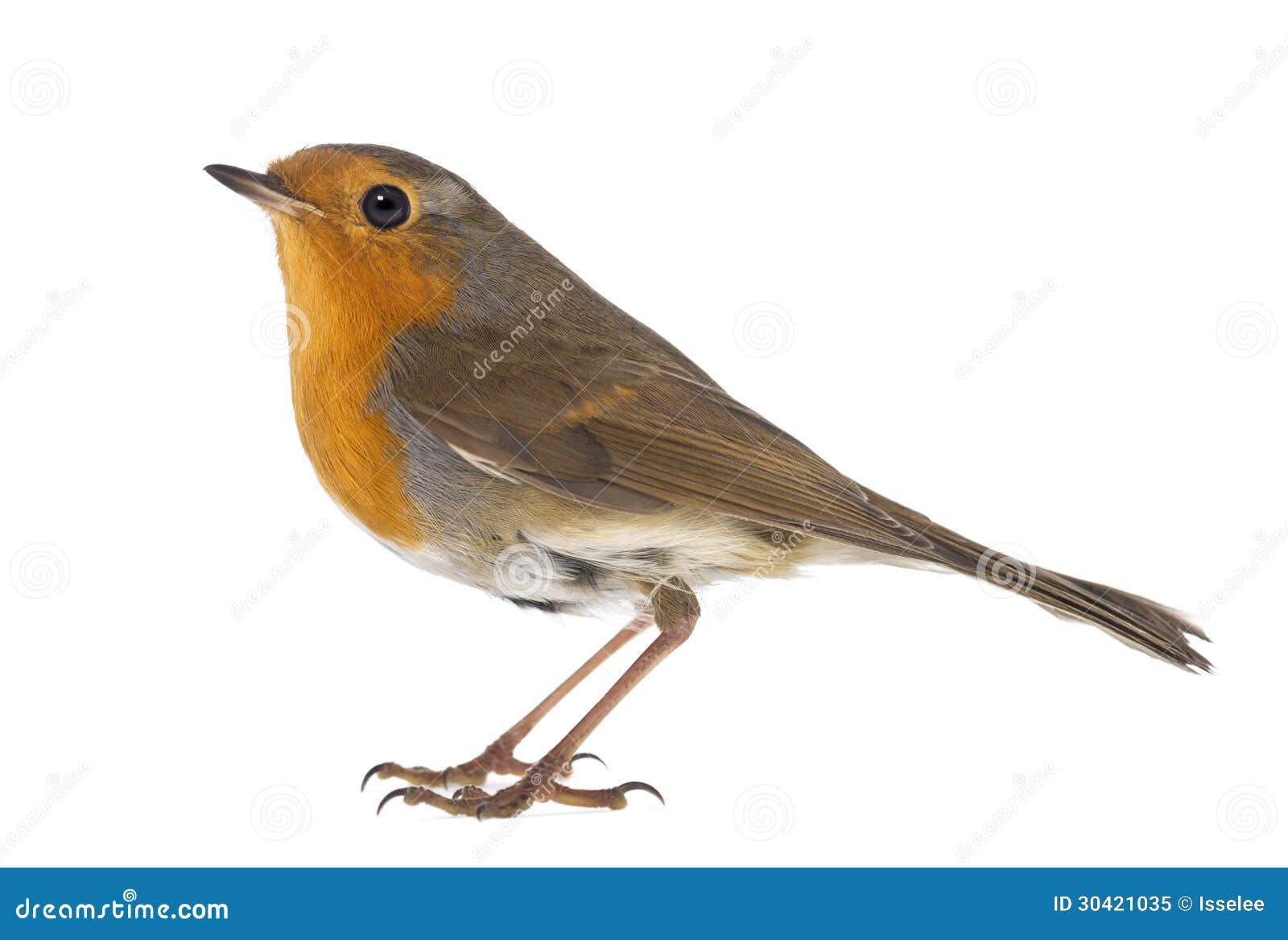 Η ευρωπαϊκά Robin - rubecula Erithacus