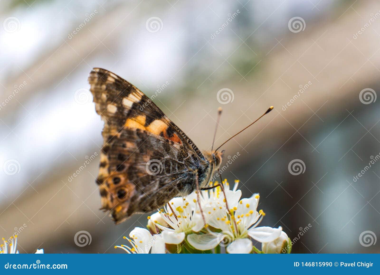 Η ζωηρόχρωμη πεταλούδα συλλέγει τη γύρη από τα άνθη κερασιών με τα proboscis της