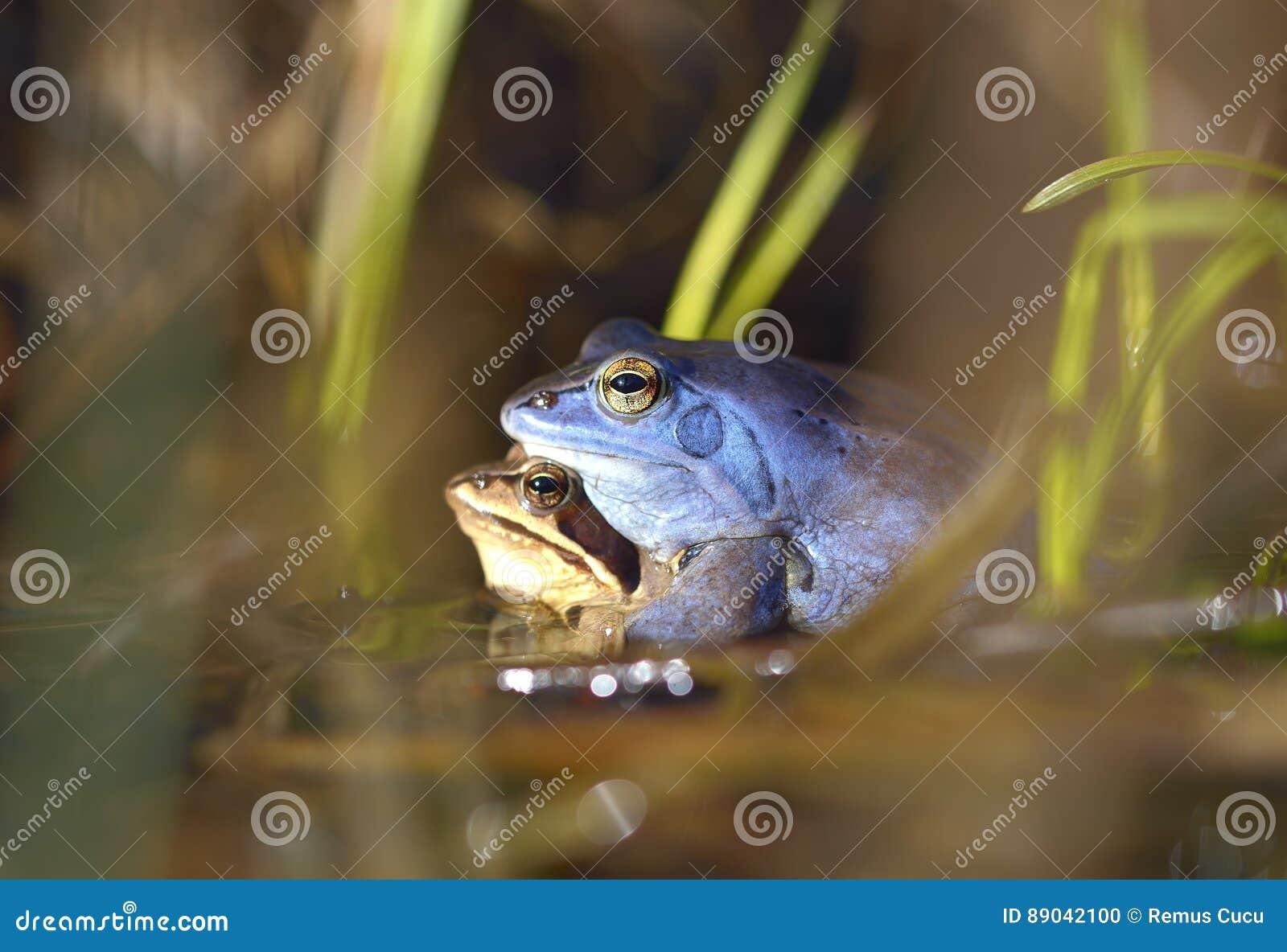 Η διαδικασία της αναπαραγωγής δένει το βάτραχο, arvalis Rana