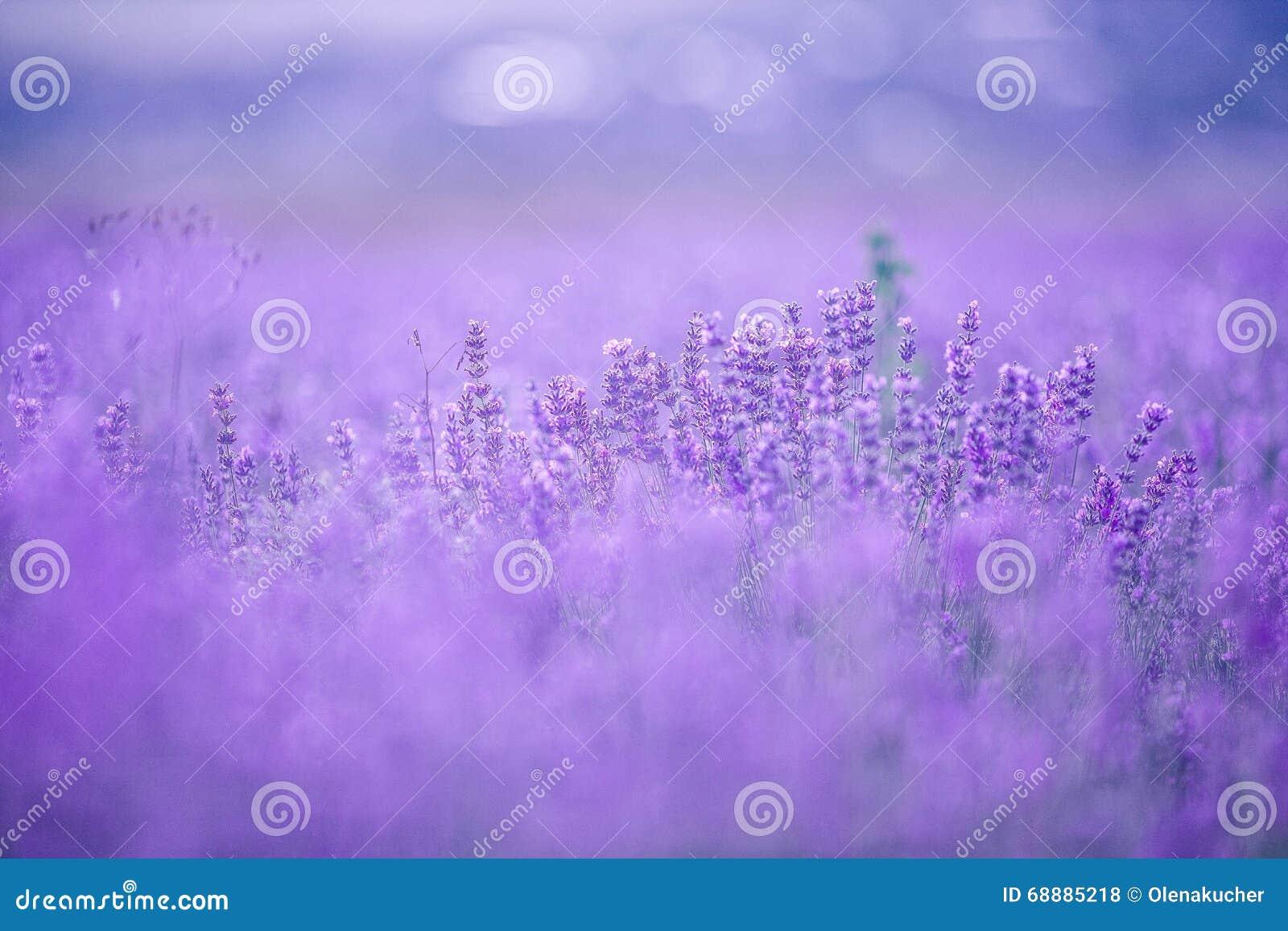 Ηλιοβασίλεμα πέρα από έναν ιώδη lavender τομέα στην Προβηγκία