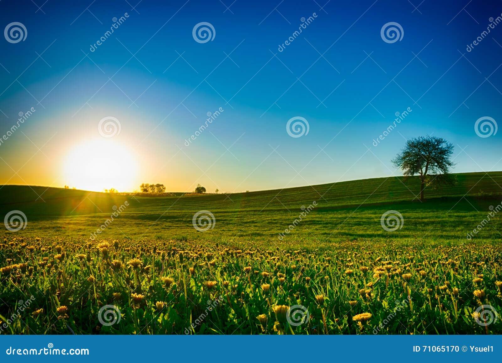 Ηλιοβασίλεμα πέρα από το λιβάδι πικραλίδων