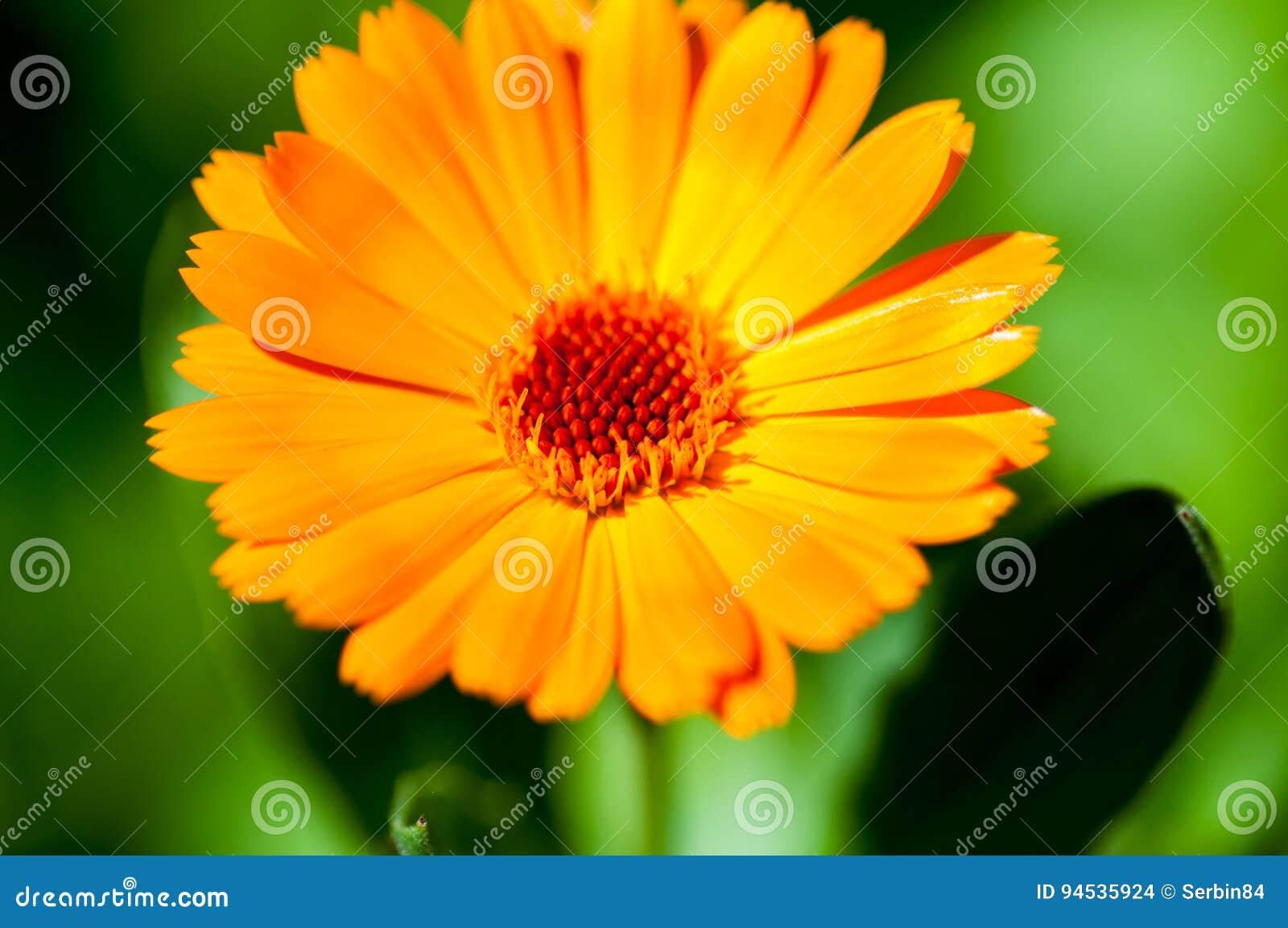 ηλιόλουστος επάνω λουλουδιών ημέρας calendula στενός