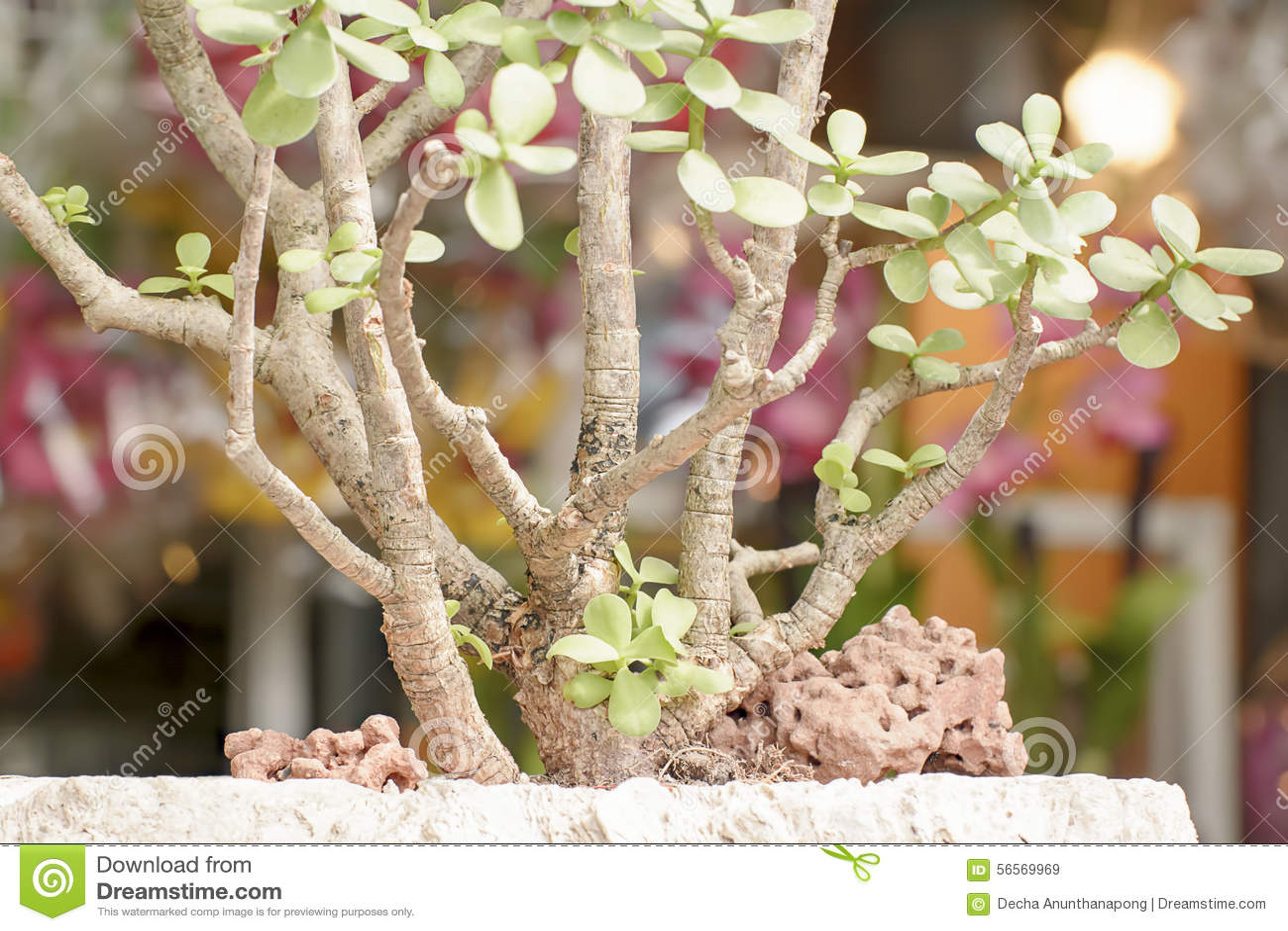 Download Η κάμψη δέντρων ή Tako της Ebony είναι το δέντρο που είναι συχνά στην κάμψη ή τον κήπο Décor Στοκ Εικόνα - εικόνα από κήπος, ebony: 56569969
