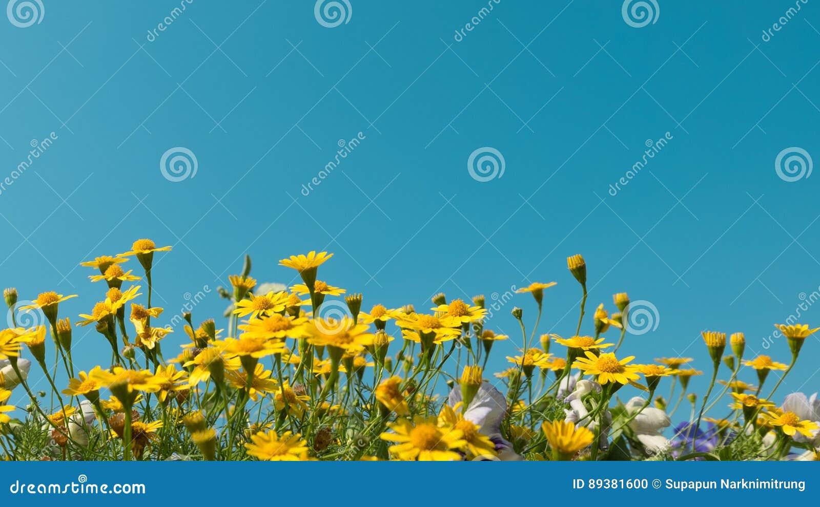 Η κίτρινη μαργαρίτα ανθίζει τον τομέα λιβαδιών με το σαφή μπλε ουρανό, φωτεινό φως ημέρας όμορφο φυσικό καλοκαίρι μαργαριτών άνθι