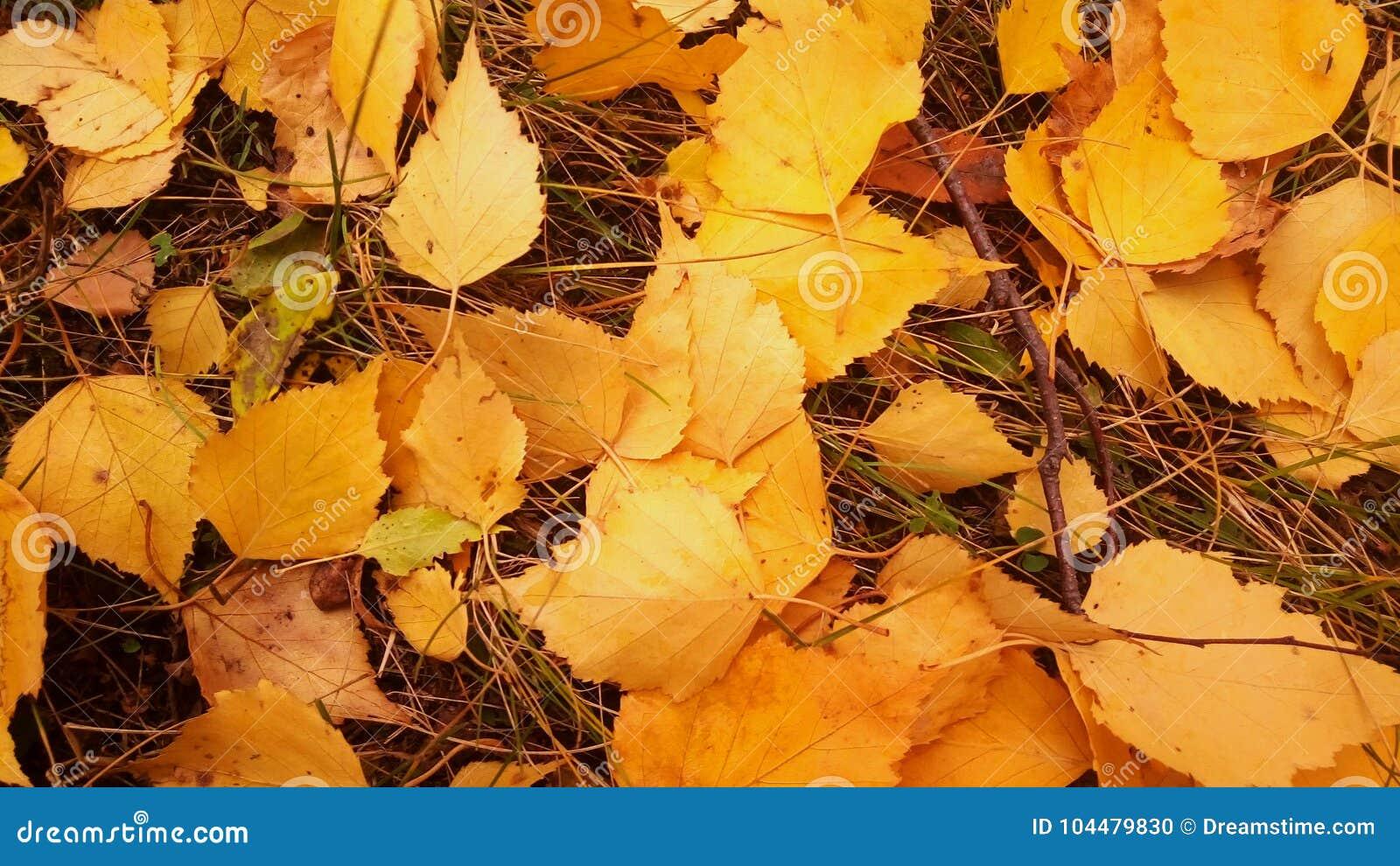 η κίτρινη πτώση φύλλων αφήνει τη δασική πεσμένη ομορφιά φύλλων του φθινοπώρου