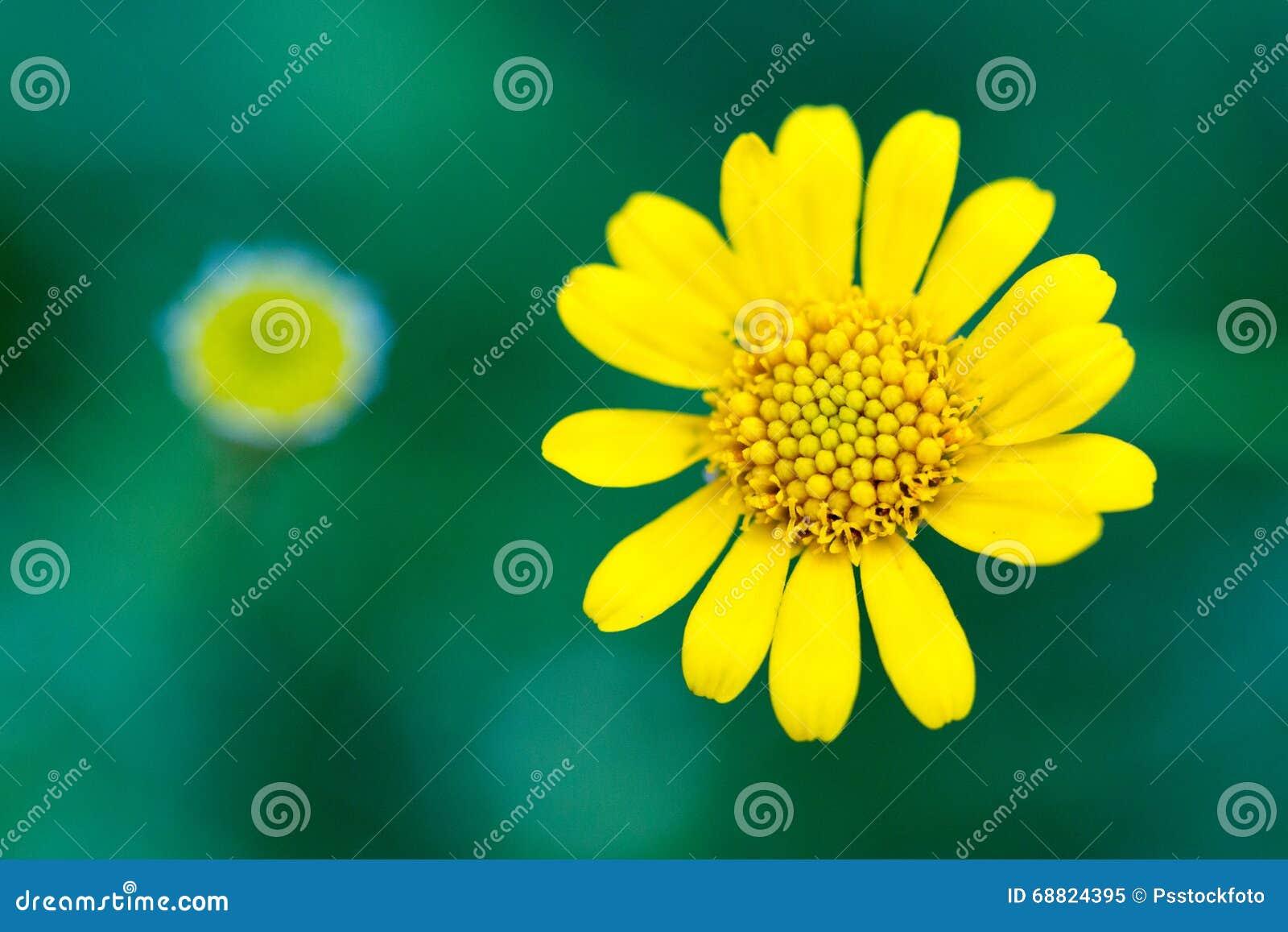 Η κίτρινη Zinnia