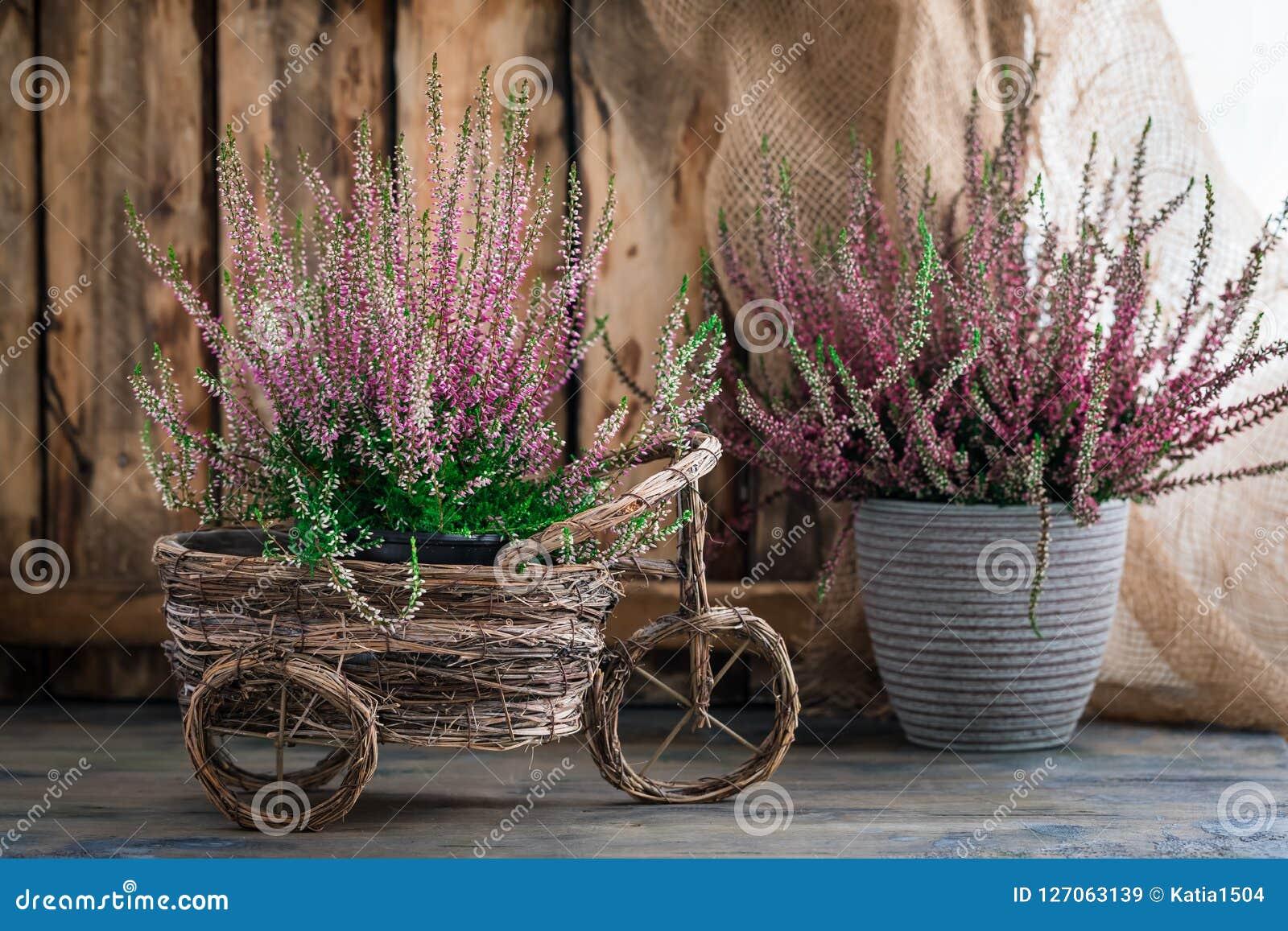 Η καλλιεργημένη σε δοχείο ρόδινη vulgaris ή κοινή ερείκη calluna ανθίζει τη στάση στο ξύλινο υπόβαθρο