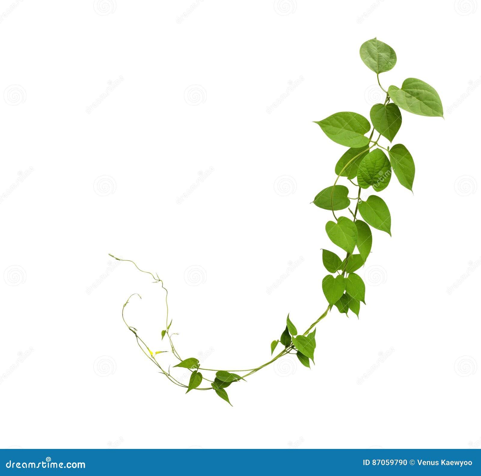 Η καρδιά διαμόρφωσε τις πράσινες αμπέλους φύλλων που απομονώθηκαν στο άσπρο υπόβαθρο, συνδετήρας