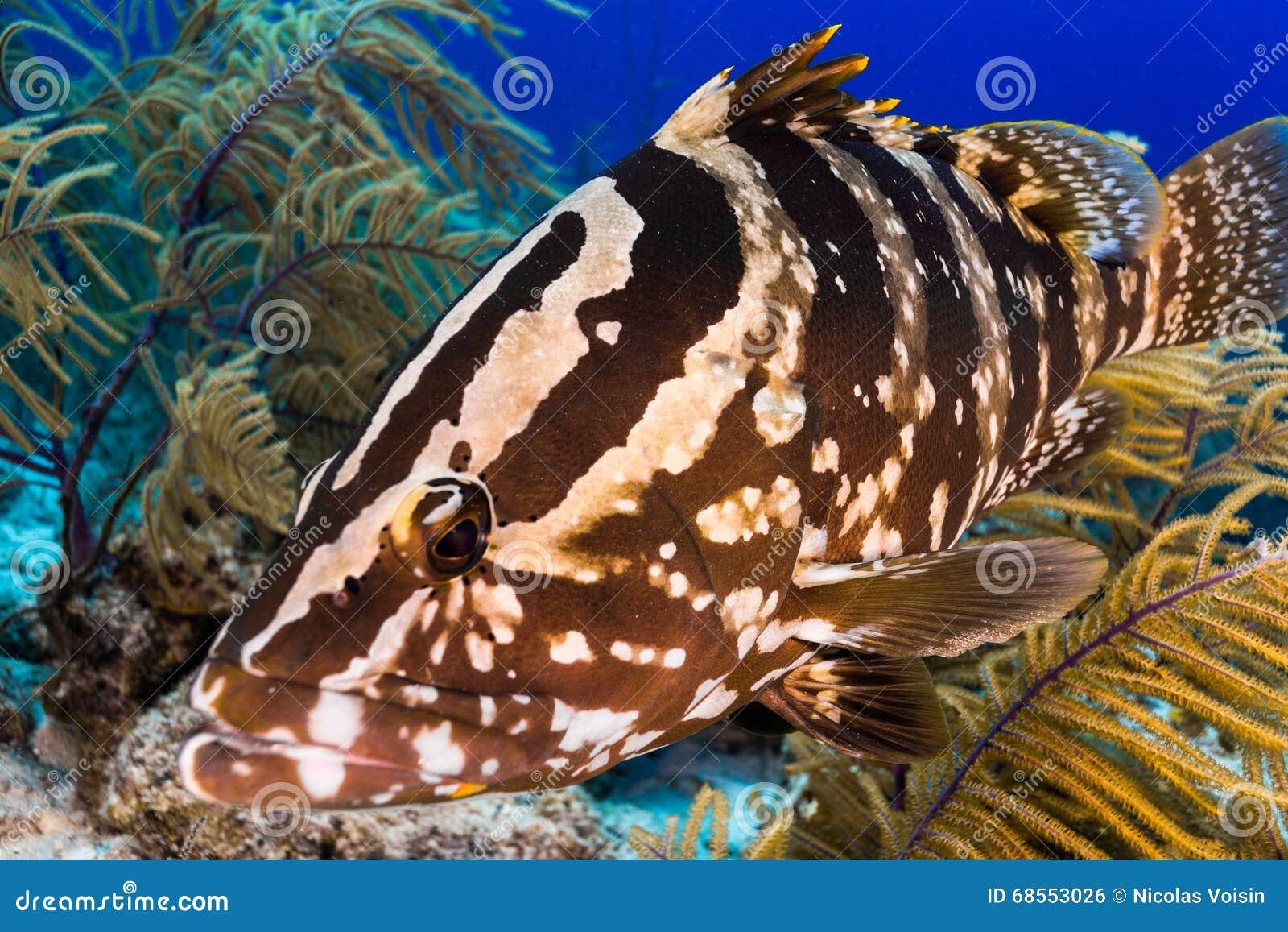 Η κατάδυση αντιμετωπίζει με grouper Nassau