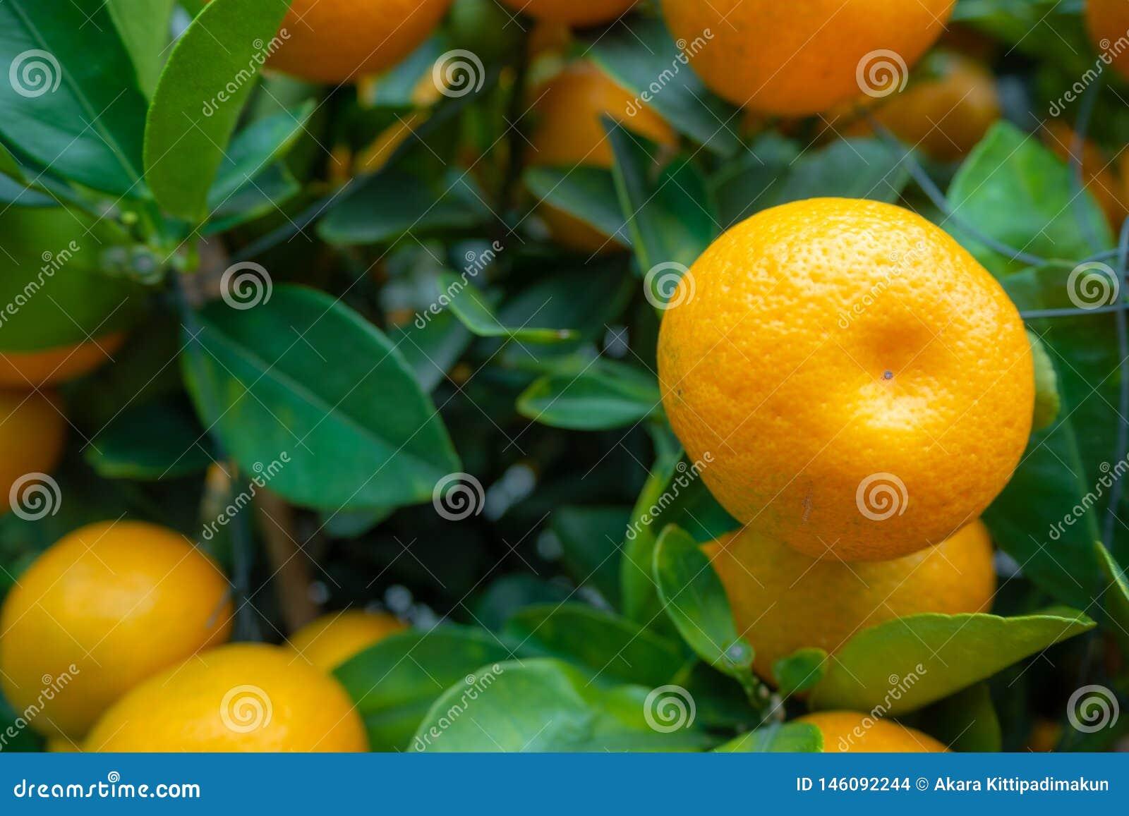 Η κινηματογράφηση σε πρώτο πλάνο του φρέσκου μικρού πορτοκαλιού σε πράσινο βγάζει φύλλα το υπόβαθρο