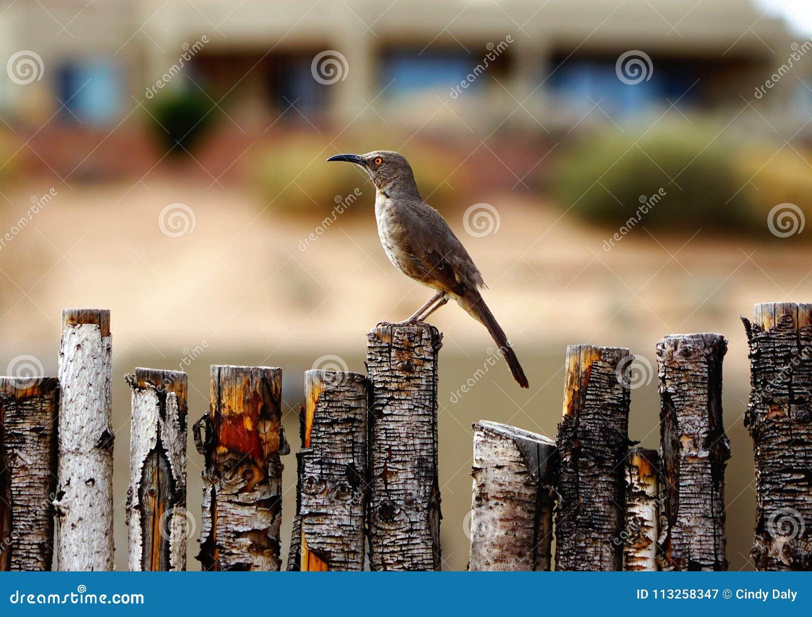 Η κυρτή τιμολογημένη συνεδρίαση πουλιών thrasher στο φράκτη