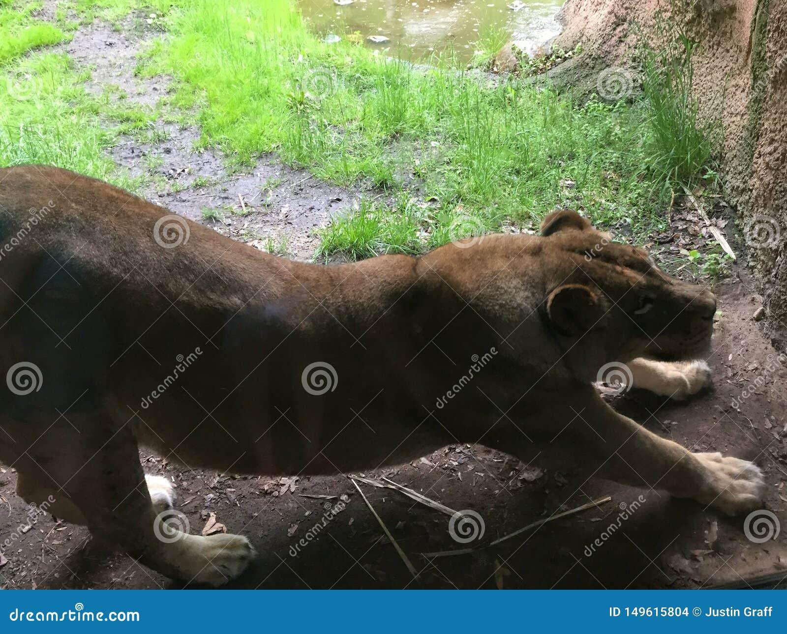 Η λιονταρίνα τέντωσε έξω κατά μήκος ενός τοίχου ερευνώντας την περιοχή της